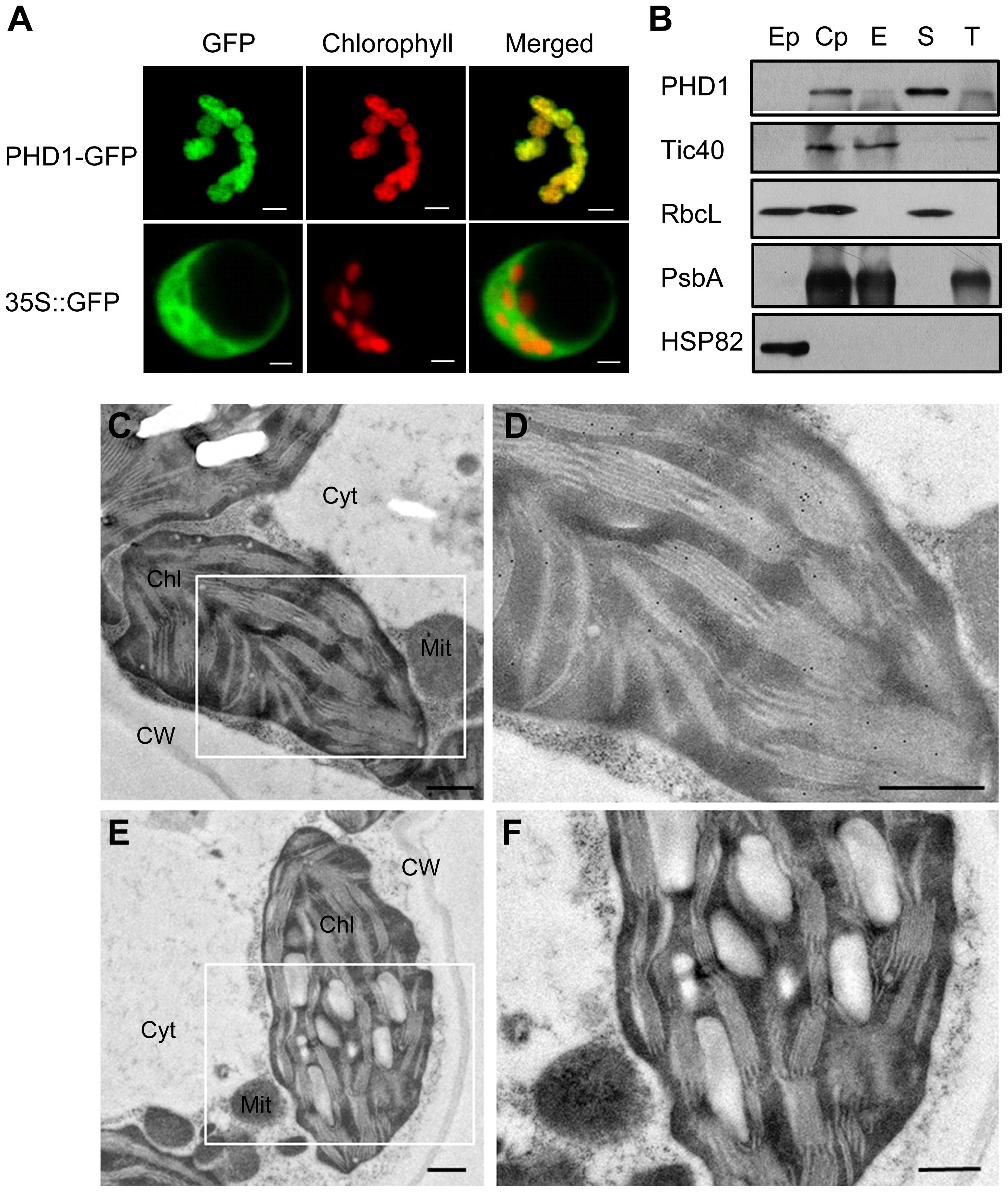 Subcellular localization of PHD1.