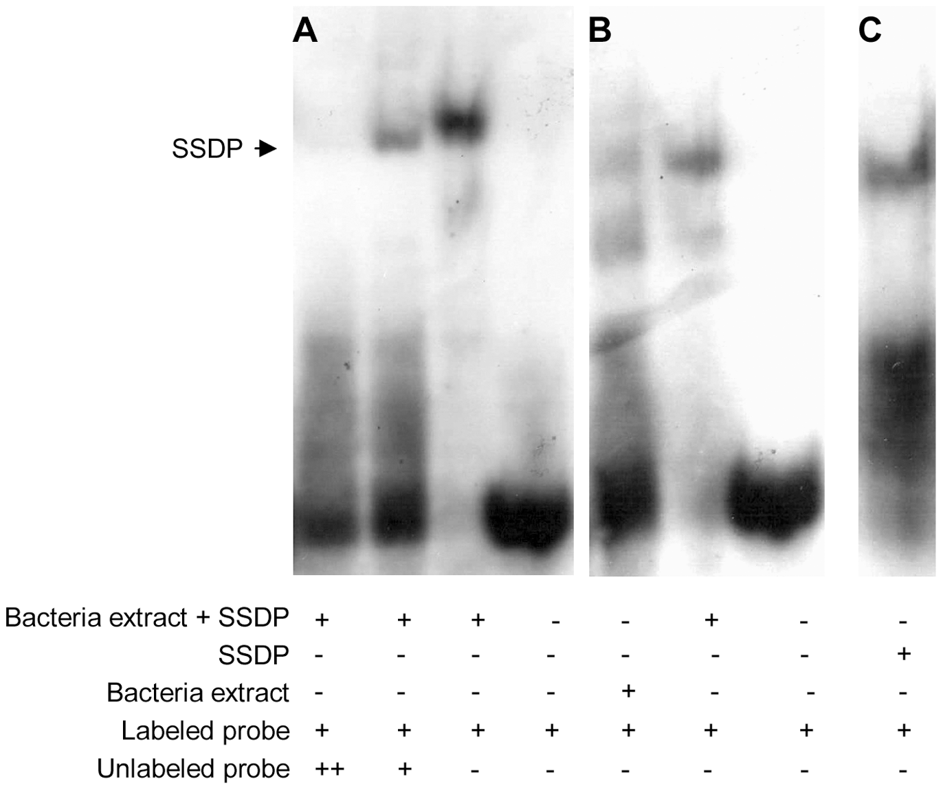 Fly SSDP specifically recognizes the SSDP binding site.