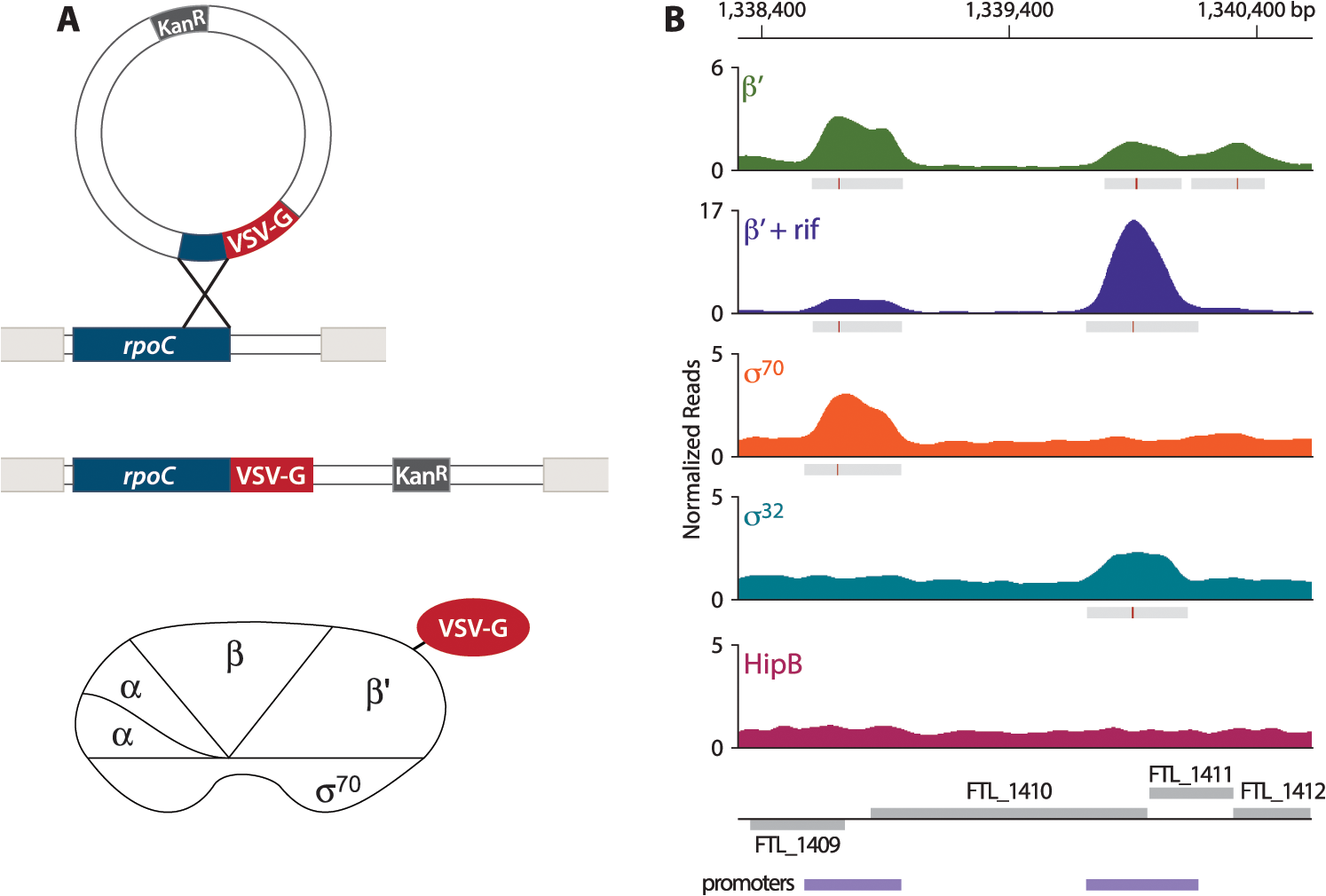 Identification of promoters in <i>F</i>. <i>tularensis</i> using ChIP-Seq.