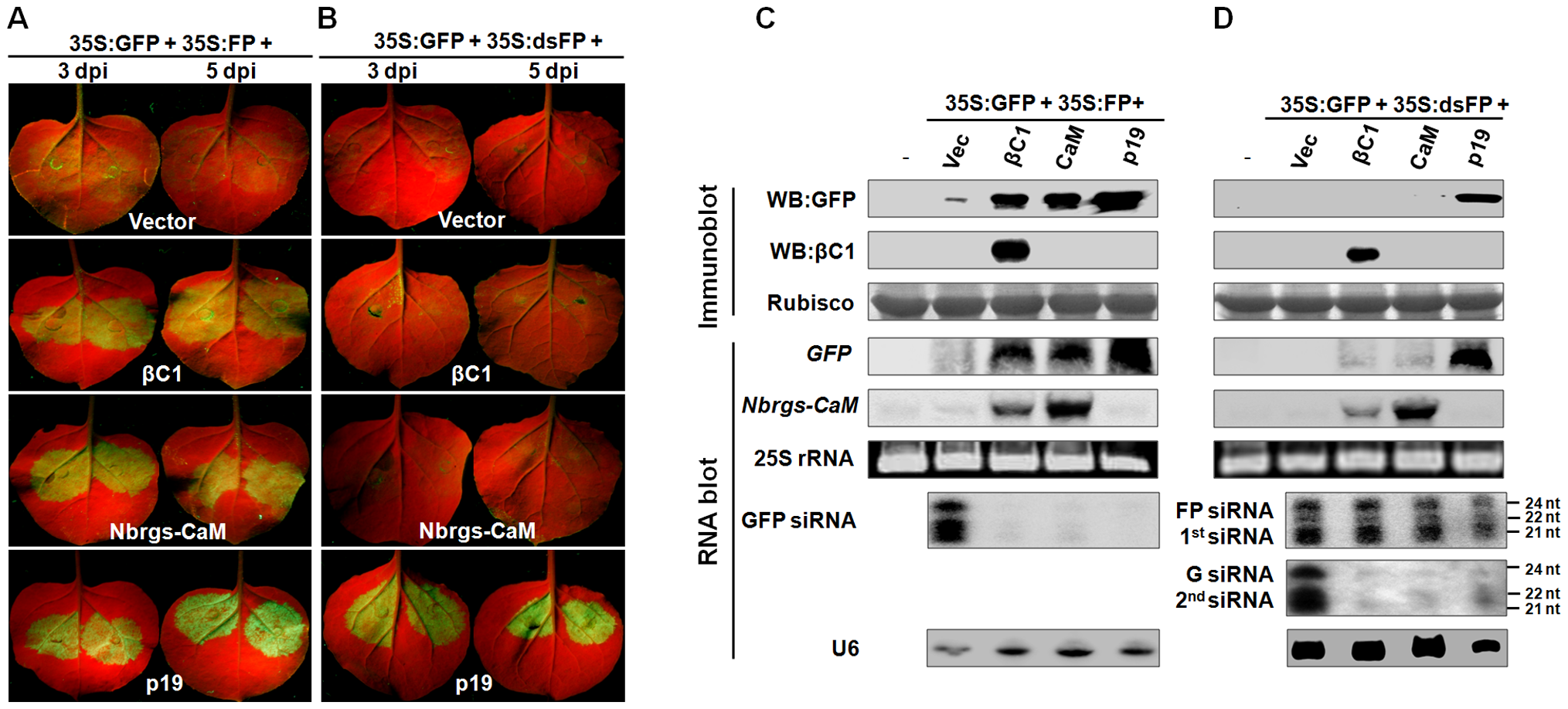 Nbrgs-CaM and βC1 suppress sense-PTGS and the production of secondary siRNA.