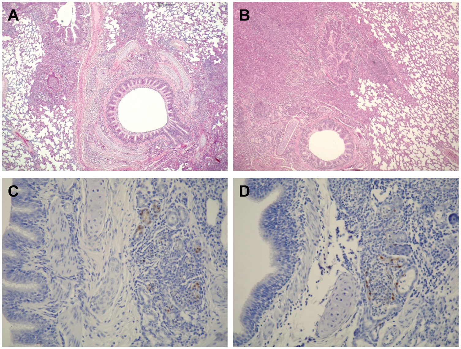 Pathological findings in the lungs of infected ferrets.