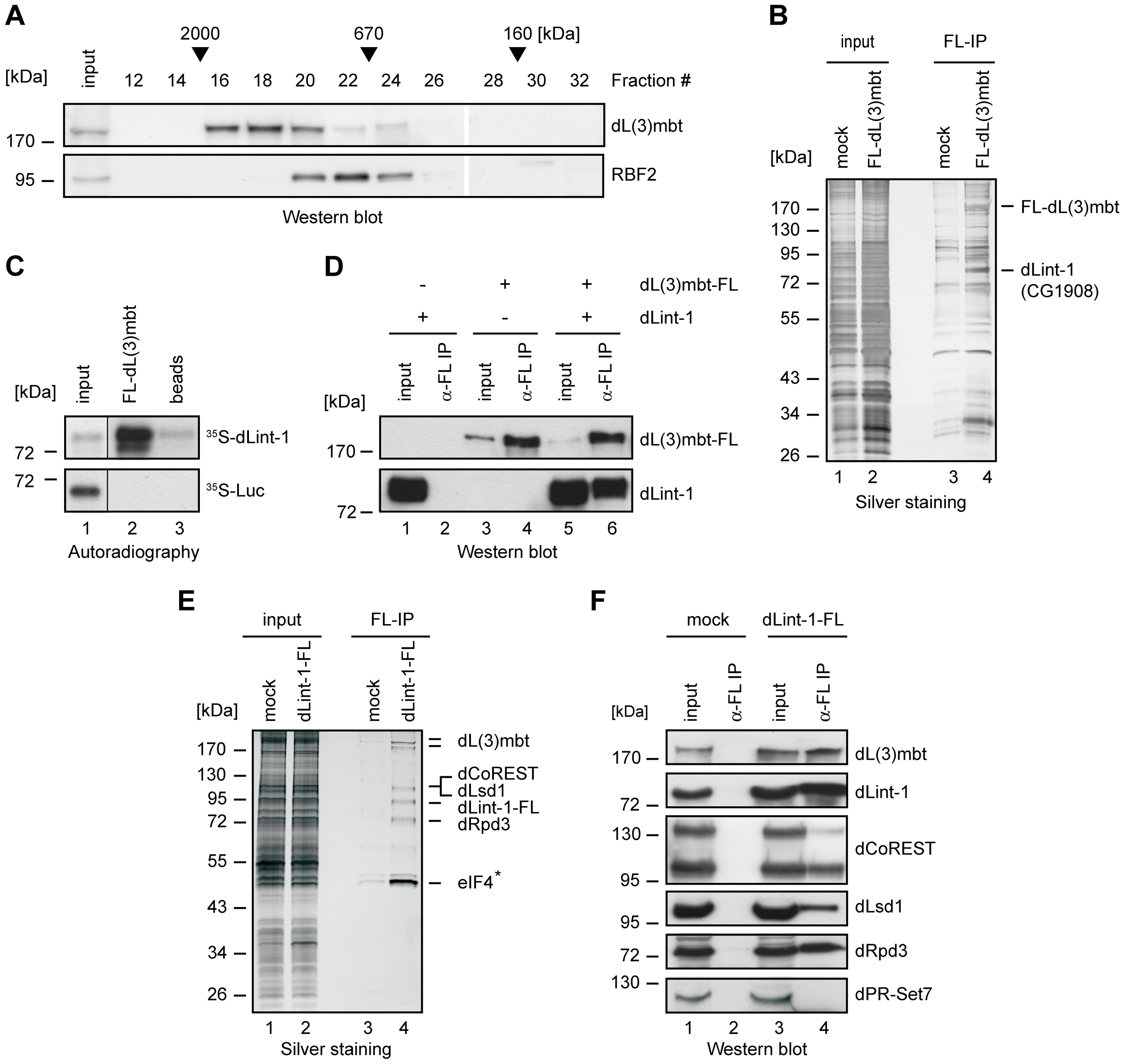 dLint-1 is a novel dL(3)mbt–interacting protein.