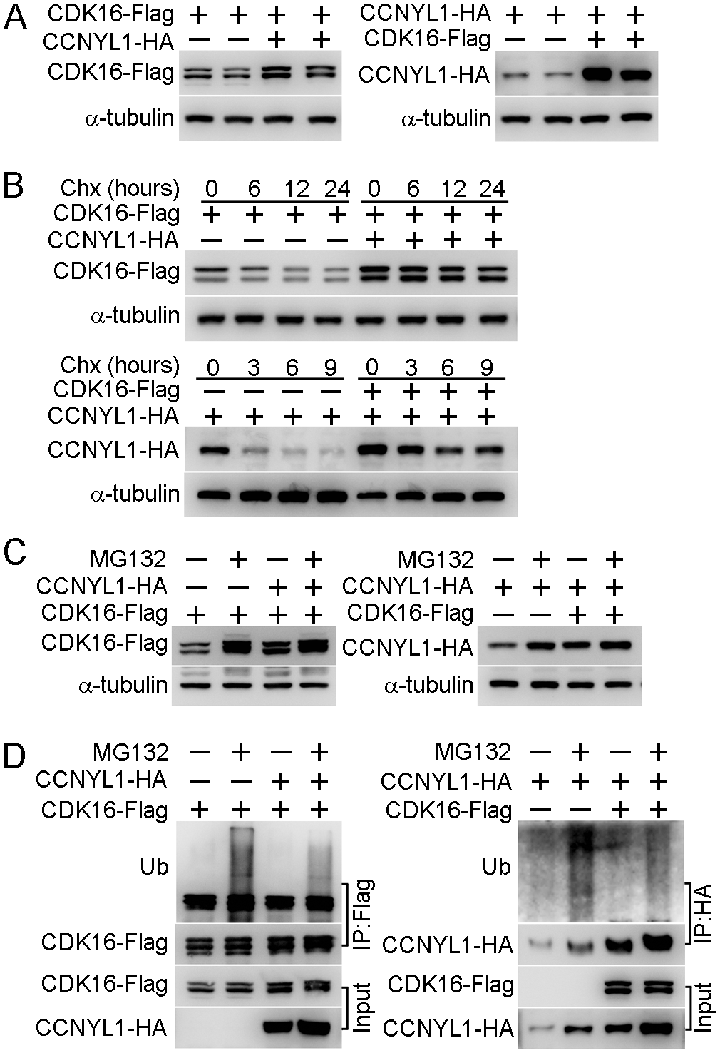 The interaction of CCNYL1 and CDK16 and protection of protein stability.
