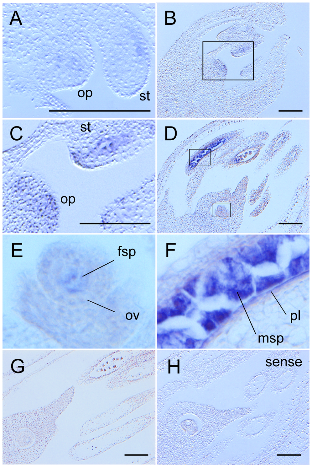<i>MEL2</i> mRNA was expressed in male and female germline and parietal cells before meiosis.