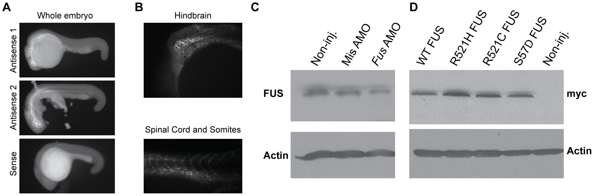 <i>Fus</i> mRNA expression in early development of zebrafish and Fus levels are reduced upon KD with a specific AMO.