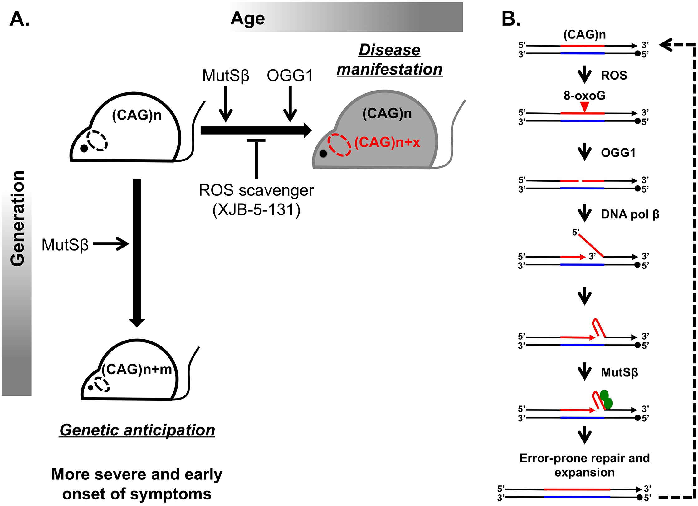 Inhibiting somatic expansions delays onset of disease in a Huntington mouse model.