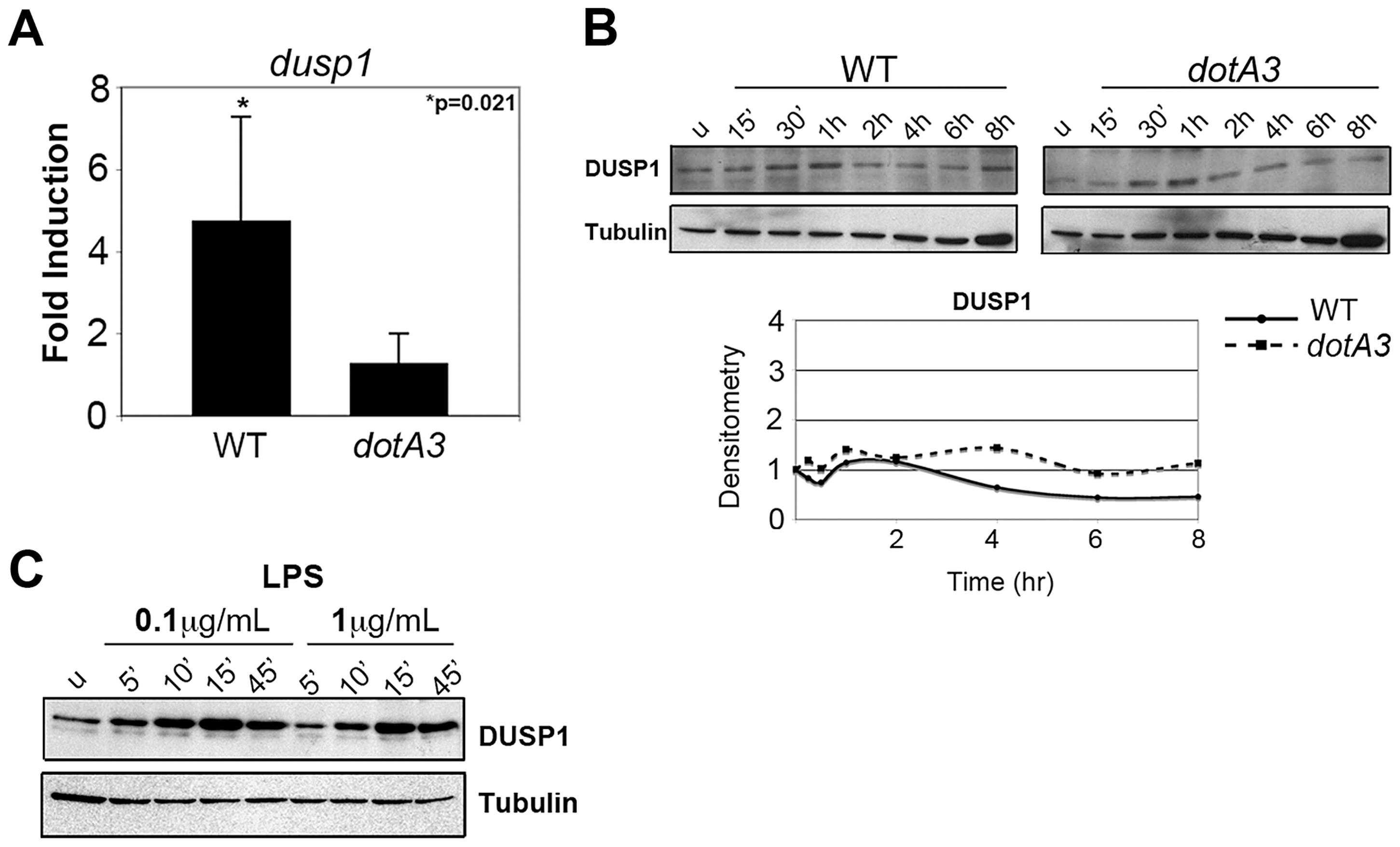 <i>L. pneumophila</i> translation inhibitors induce a frustrated MAPK response.