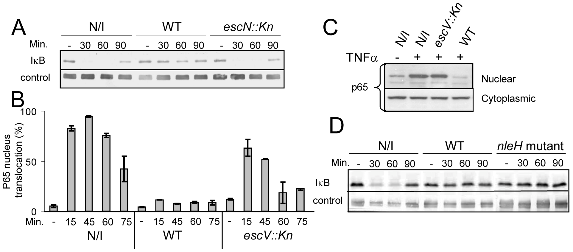 EPEC inhibit TNFα-induced IκB degradation and NF-κB translocation to the nucleus in a TTSS-dependent manner.