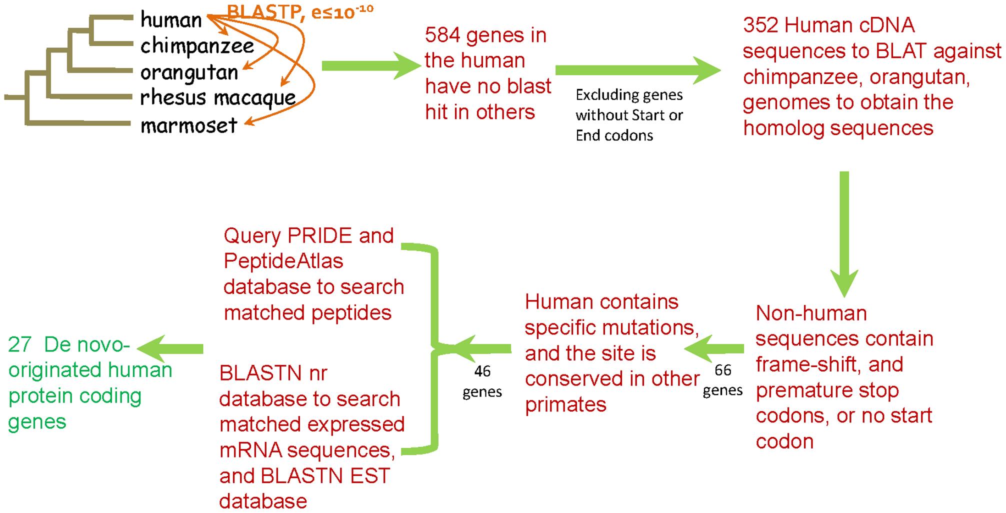 Pipeline for the identification of de novo originated protein-coding genes in the human genome.