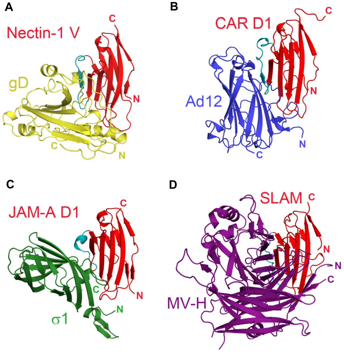 Similarities in the interactions between adhesion molecules with Ig-like fold and viral receptor-binding proteins.