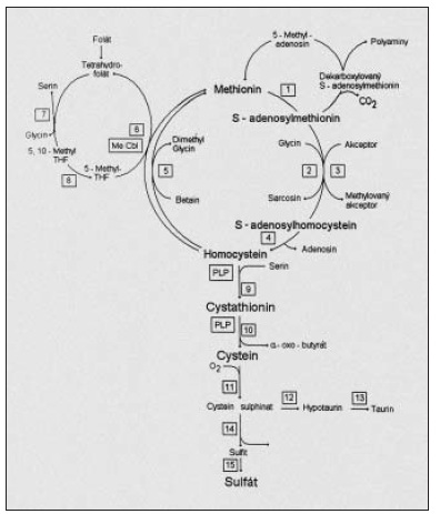 Metabolické schéma přeměny methioninu; reakce č. 5 představuje složitý enzymový systém methionin syntházy a její reduktázy.Reakce č. 9 je katalyzována cystathionin-beta-syntázou (CBS). Reakce č. 8 označuje metylentetrahydrofolát reduktázu (MTHFR).