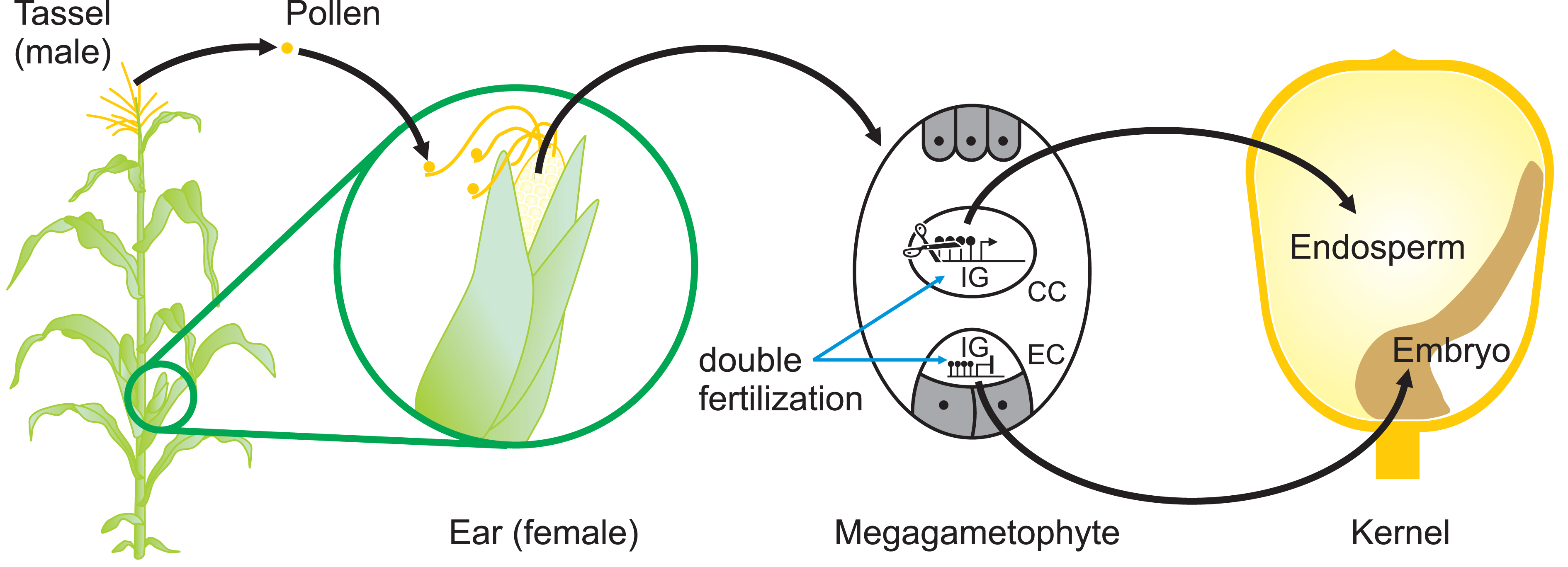 Sites of Potential Epigenetic Reprogramming during Maize Reproduction.