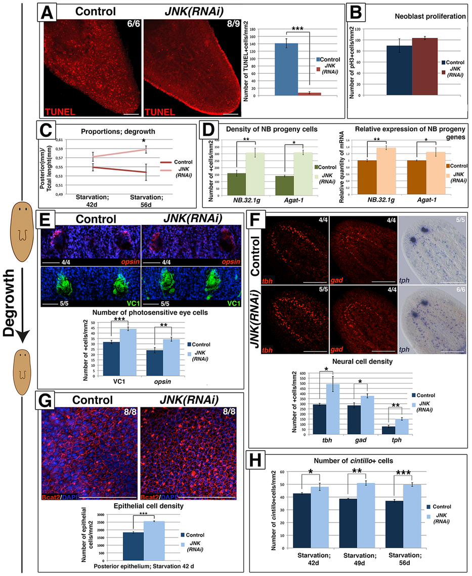 JNK-dependent apoptosis is required for proper remodeling during degrowth.