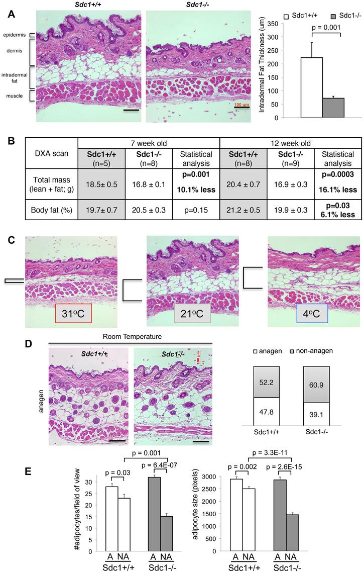 <i>Sdc1−/−</i> mice have thinner intradermal fat.