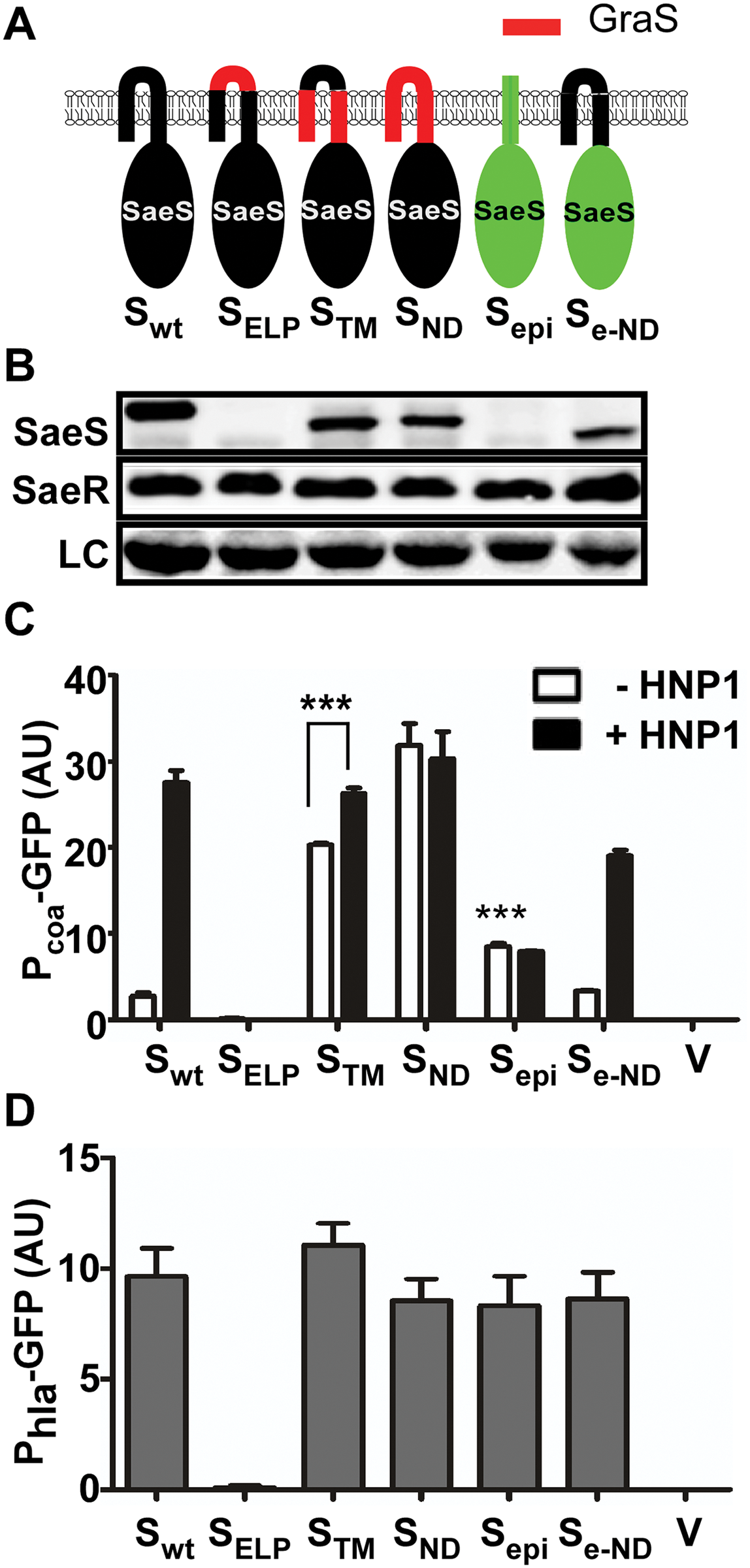 The N-terminal domain of SaeS controls the basal expression level and response to HNP1.