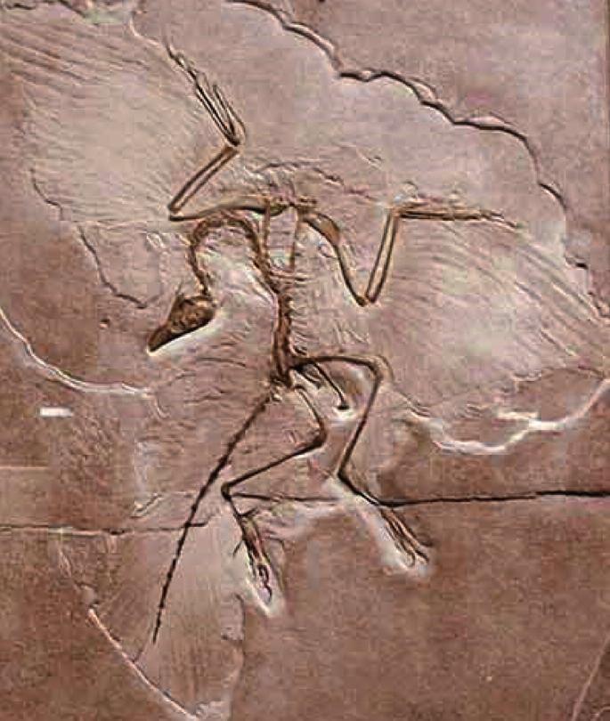 5a. Otisk Archaeopteryxe