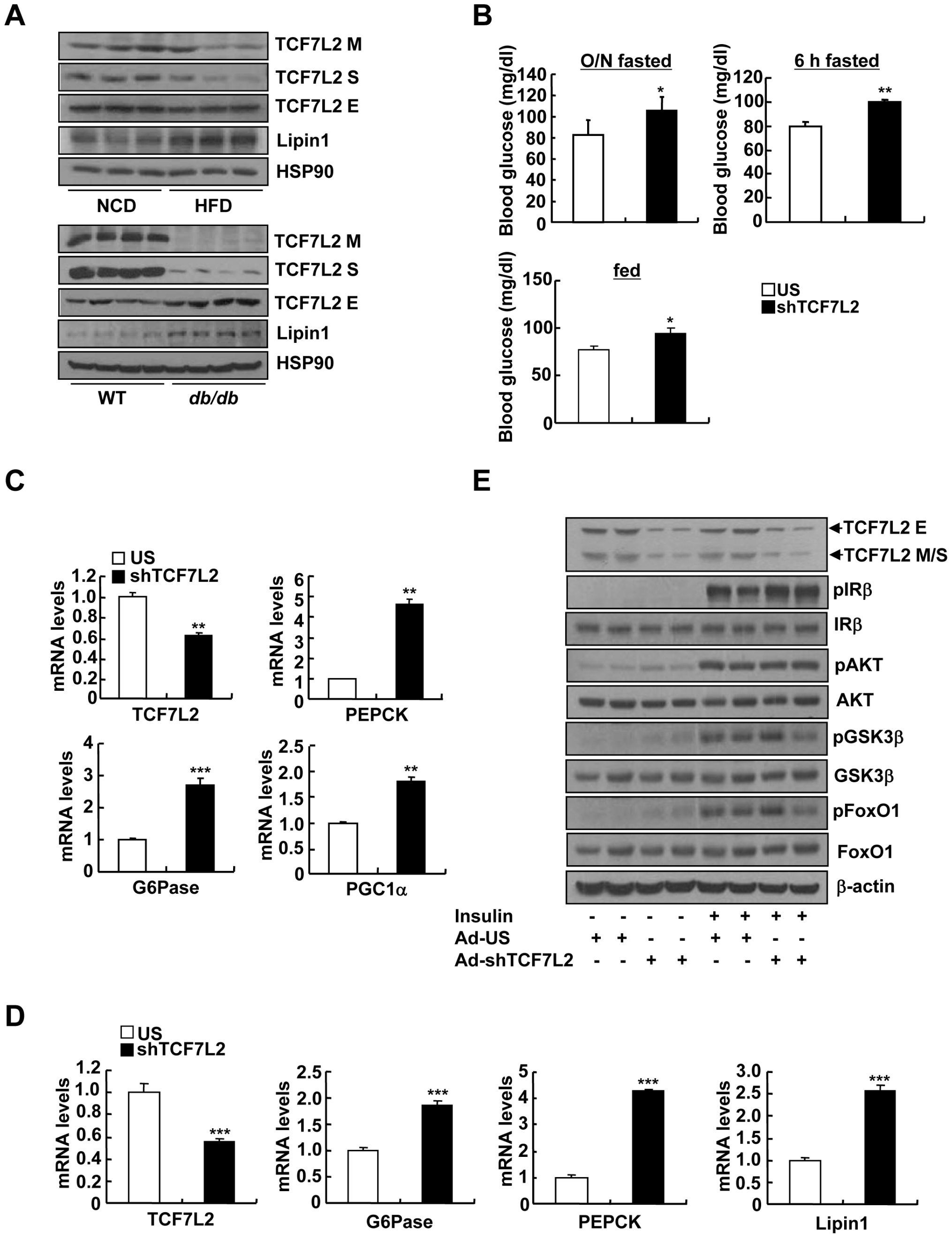 Knockdown of TCF7L2 promotes elevations in blood glucose levels in C57BL/6 mice.