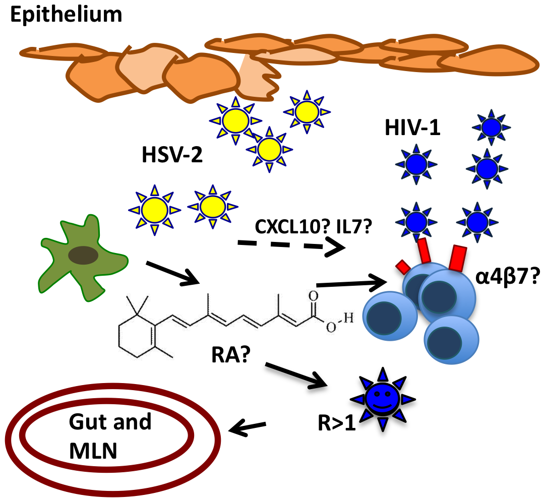 Potential mechanism of HSV-2-infected DCs enhancement of HIV-1 infection.