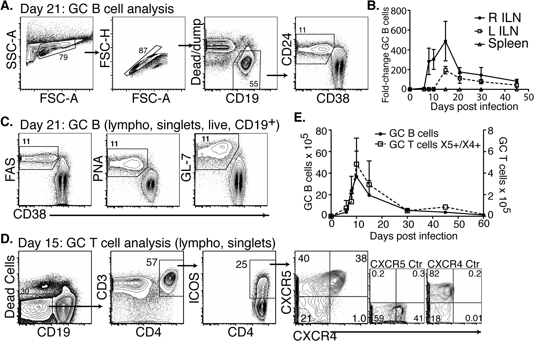 CD4 T<sub>FH</sub> and GC B cells develop after <i>Bb</i> infection but responses are short-lived.