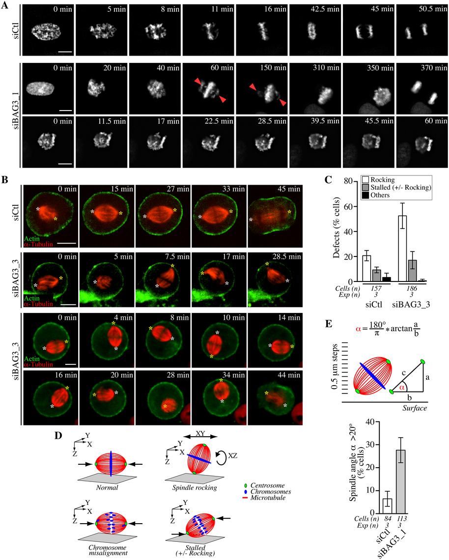 Bag3 regulates chromosome congression and spindle orientation.