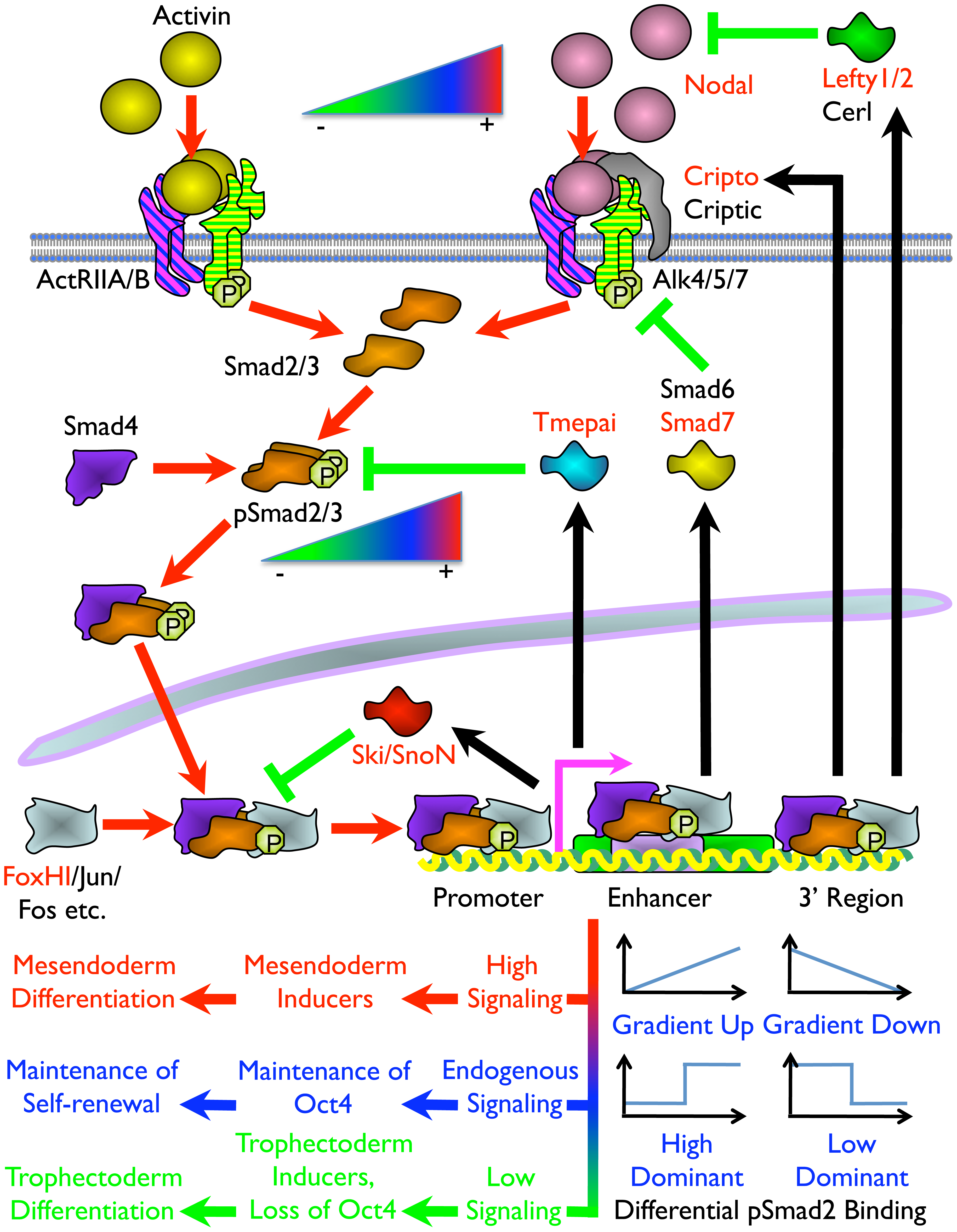 Model of the Mechanism of ES Cell Fate Decisions Directed by Graded Nodal/Activin Signaling.