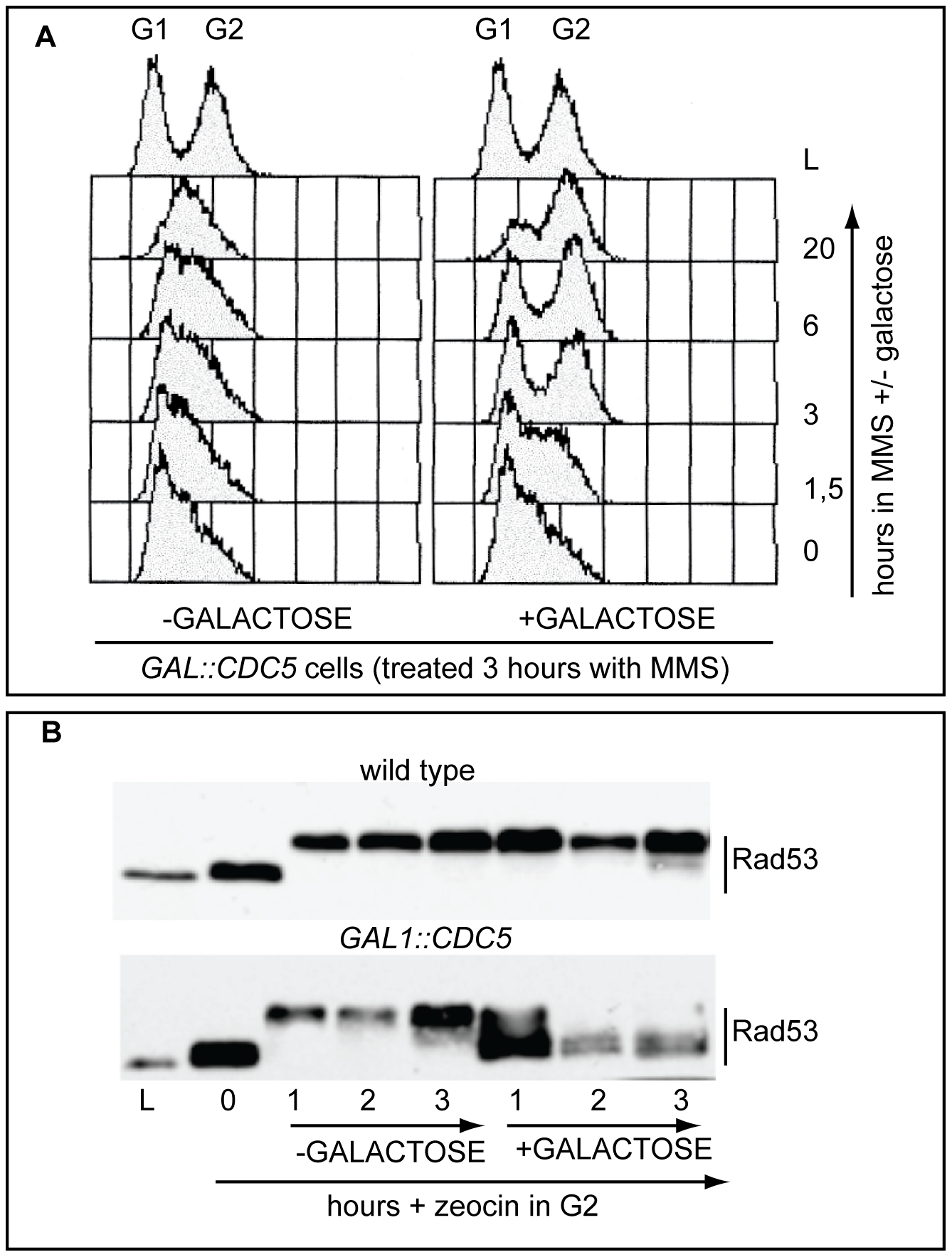Overproduction of Cdc5 overrides the DNA replication and DNA damage checkpoints.
