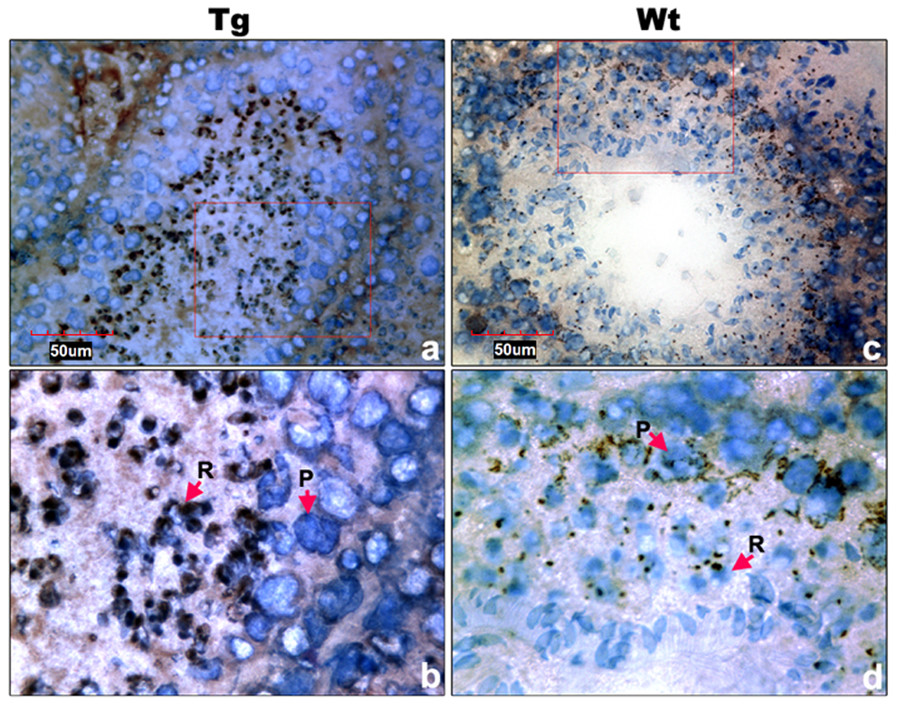 Cell types of Miwi-EGFP expression in transgenic mouse testis.