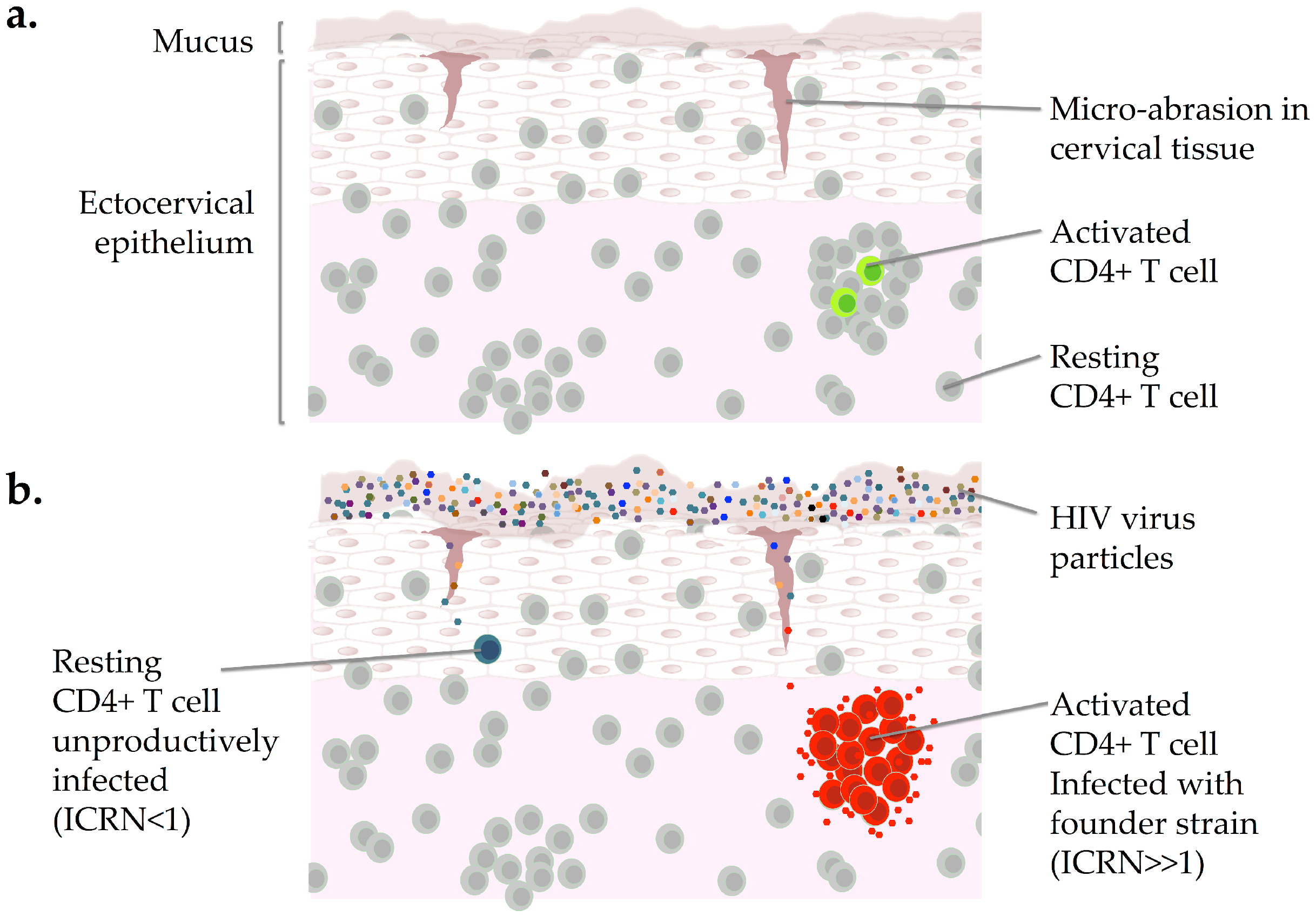 Heterogeneity among CD4+ T cells in the genital mucosa and the HIV founder strain.