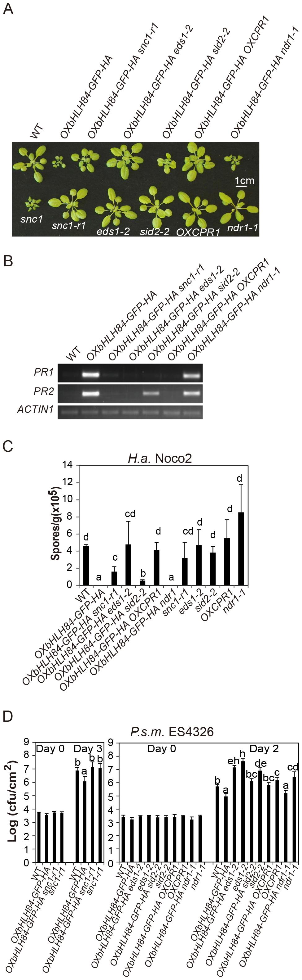 Epistasis analysis between <i>OXbHLH84-GFP-HA</i> and <i>snc1-r1</i>, <i>eds1-2</i>, <i>sid2-2</i>, <i>OXCPR1</i>, and <i>ndr1-1</i>.