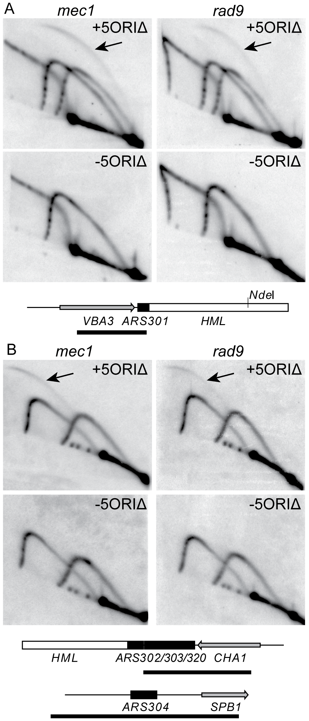 Activity of dormant origins on full-length 5ORIΔ chromosome in <i>mec1</i> and <i>rad9</i> mutants.