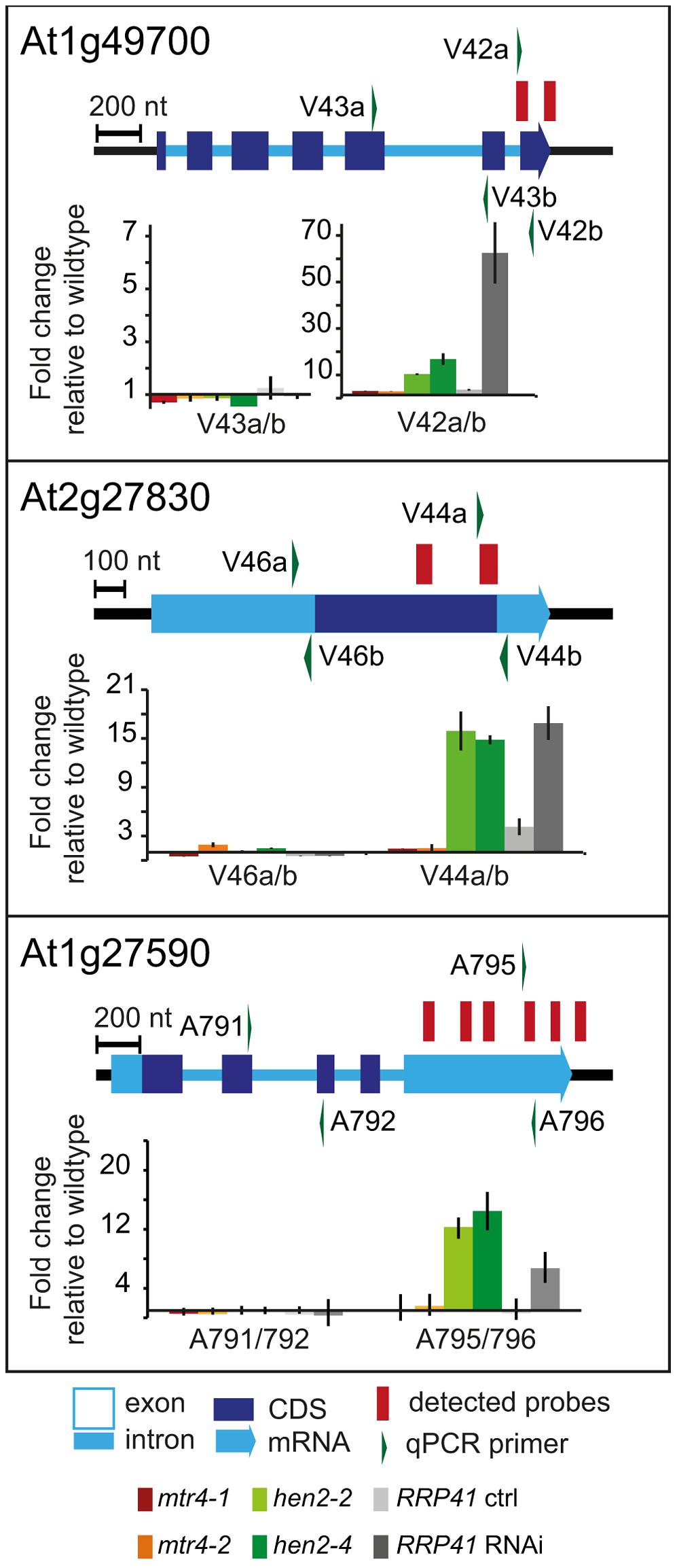 <i>hen2</i> mutants accumulate short transcripts derived from mRNA genes.