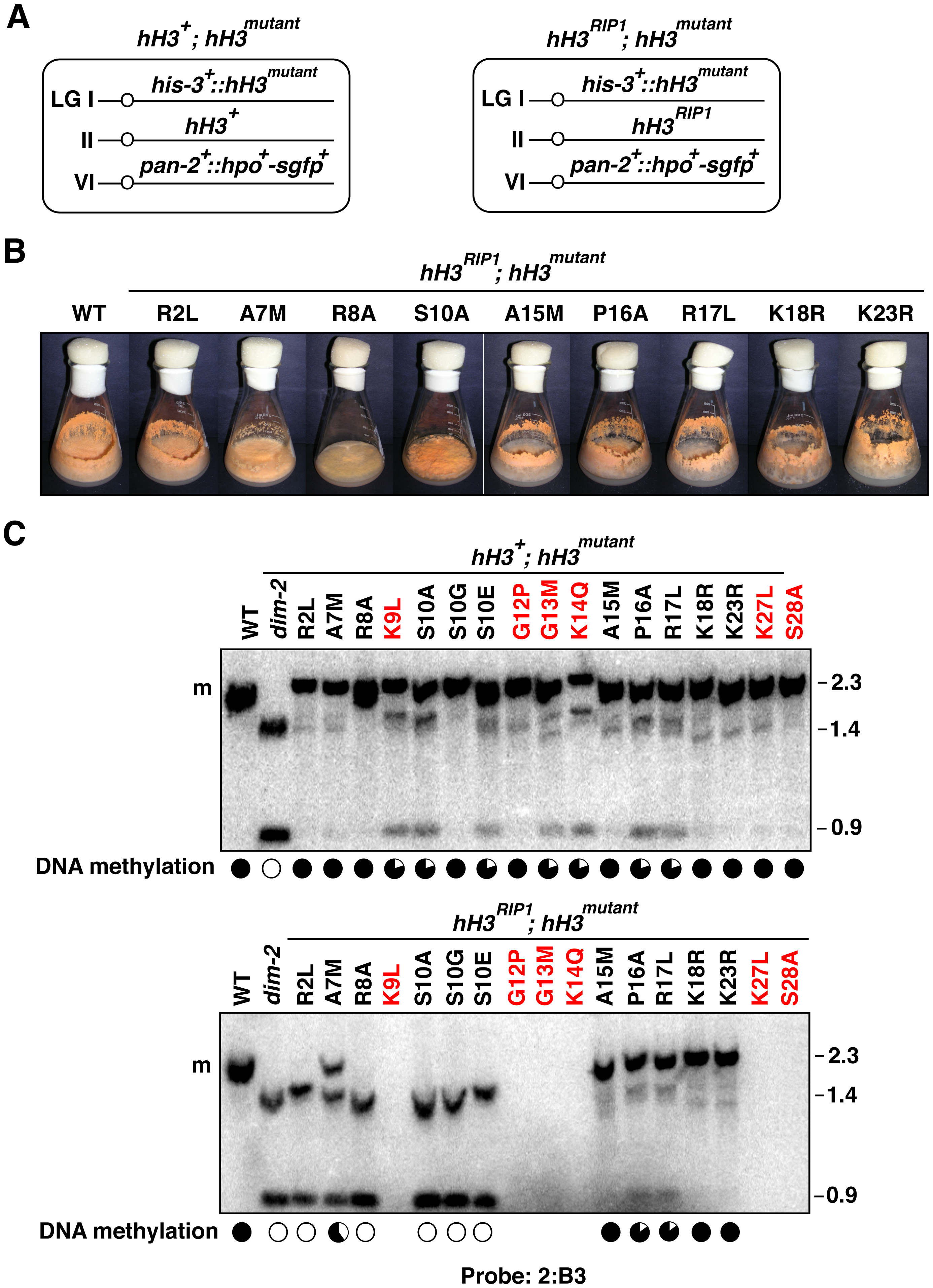 Substitutions in the H3 tail can cause recessive or semi-dominant loss of DNA methylation.