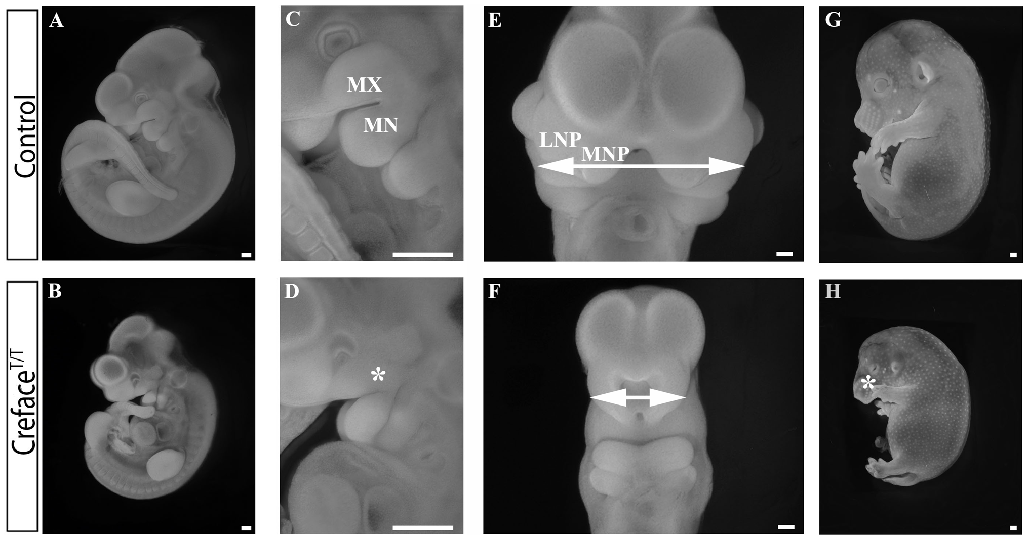 <i>Creface<sup>T/T</sup></i> embryos exhibit general facial prominence hypoplasia.