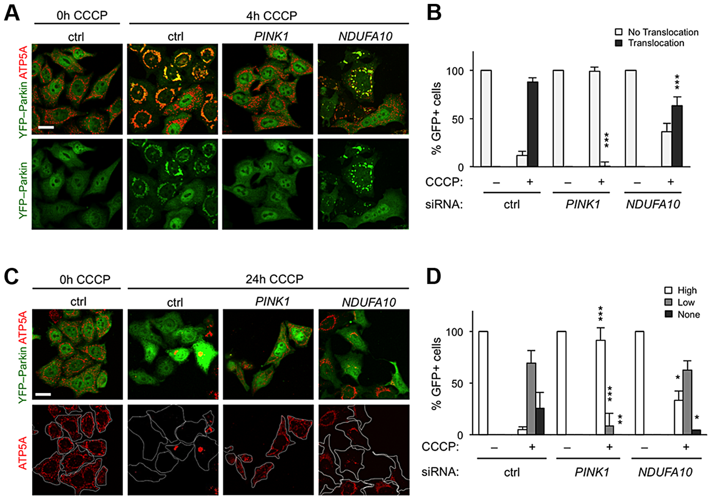 <i>NDUFA10</i> knockdown slightly reduces CCCP-induced Parkin translocation and mitophagy.
