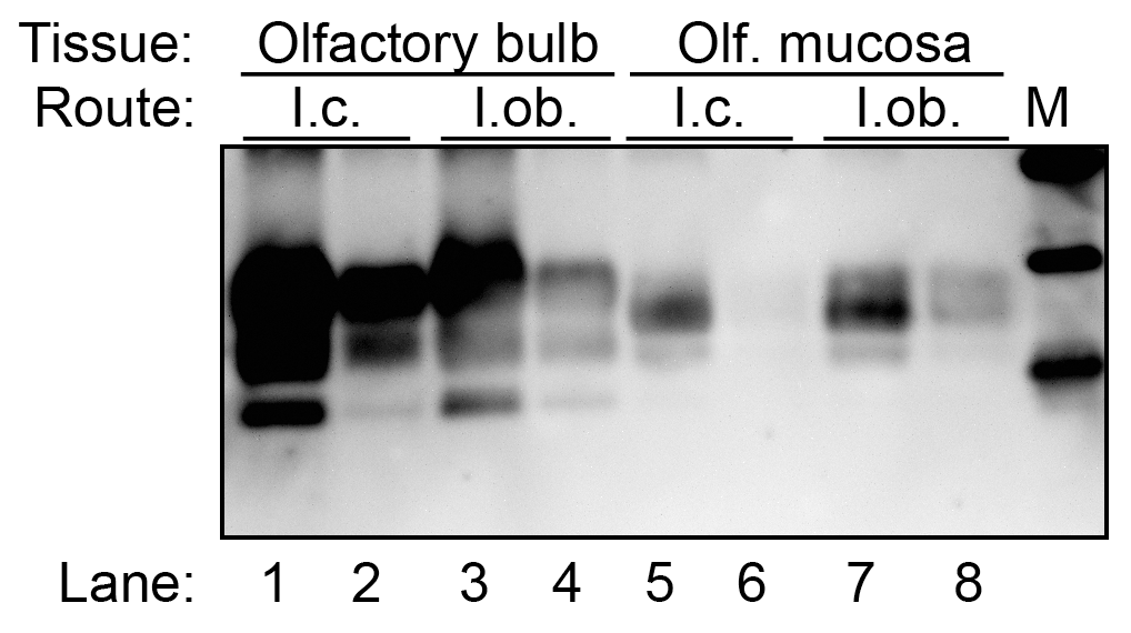 Western blot for PrP<sup>Sc</sup> in olfactory bulb and olfactory mucosa following HY TME infection of hamsters.