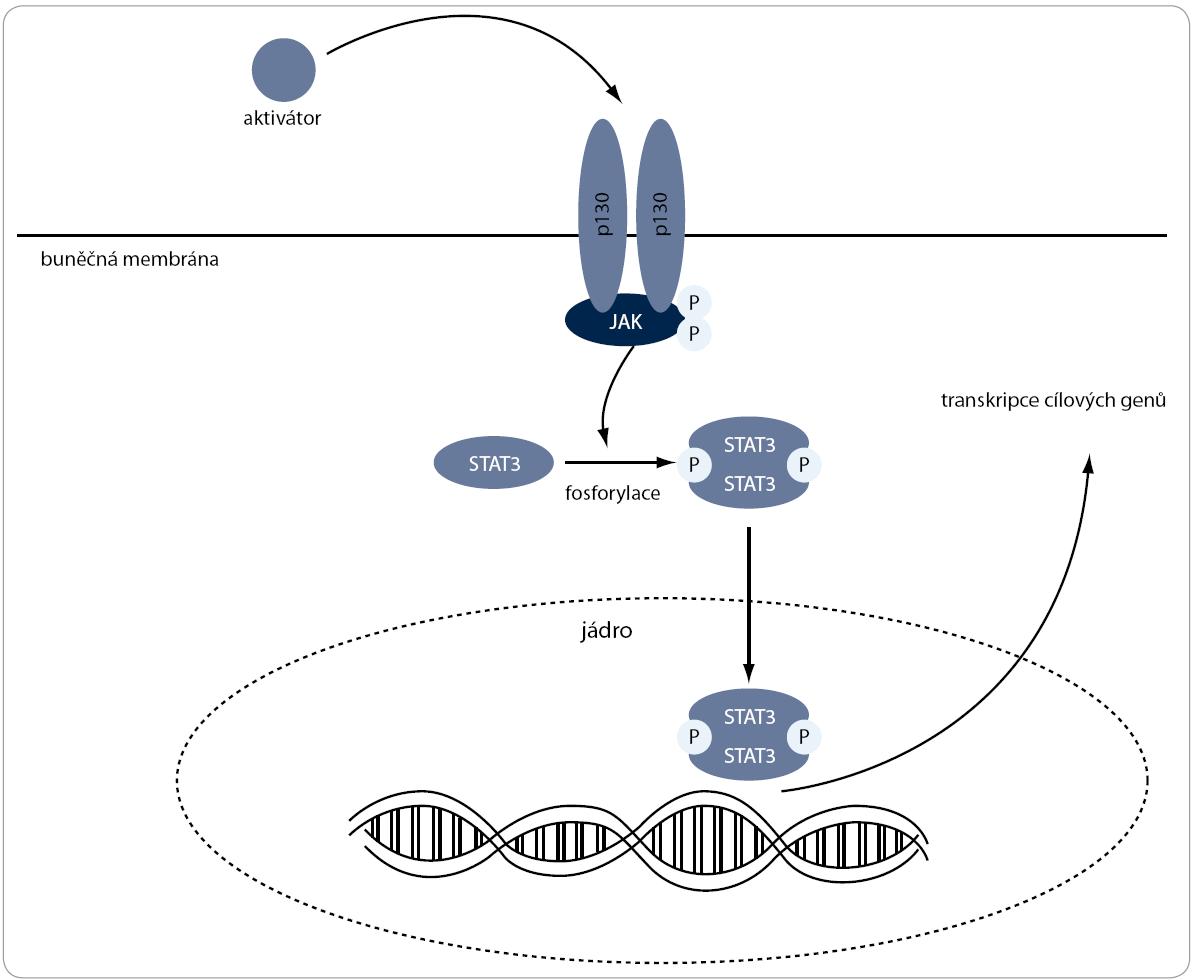 JAK/STAT3 signální dráha. Po navázání aktivátoru na buněčný receptor gp130 je aktivována JAK, která následně fosforyluje transkripční faktor STAT. Ten je translokován do jádra, kde zprostředkovává expresi genů, které inhibují apoptózu, podporují buněčný cyklus a zvyšují rezistenci na chemoterapeutické látky.