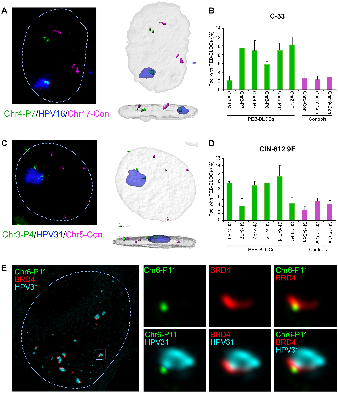 Papillomavirus replication factories are associated with PEB-BLOCs.