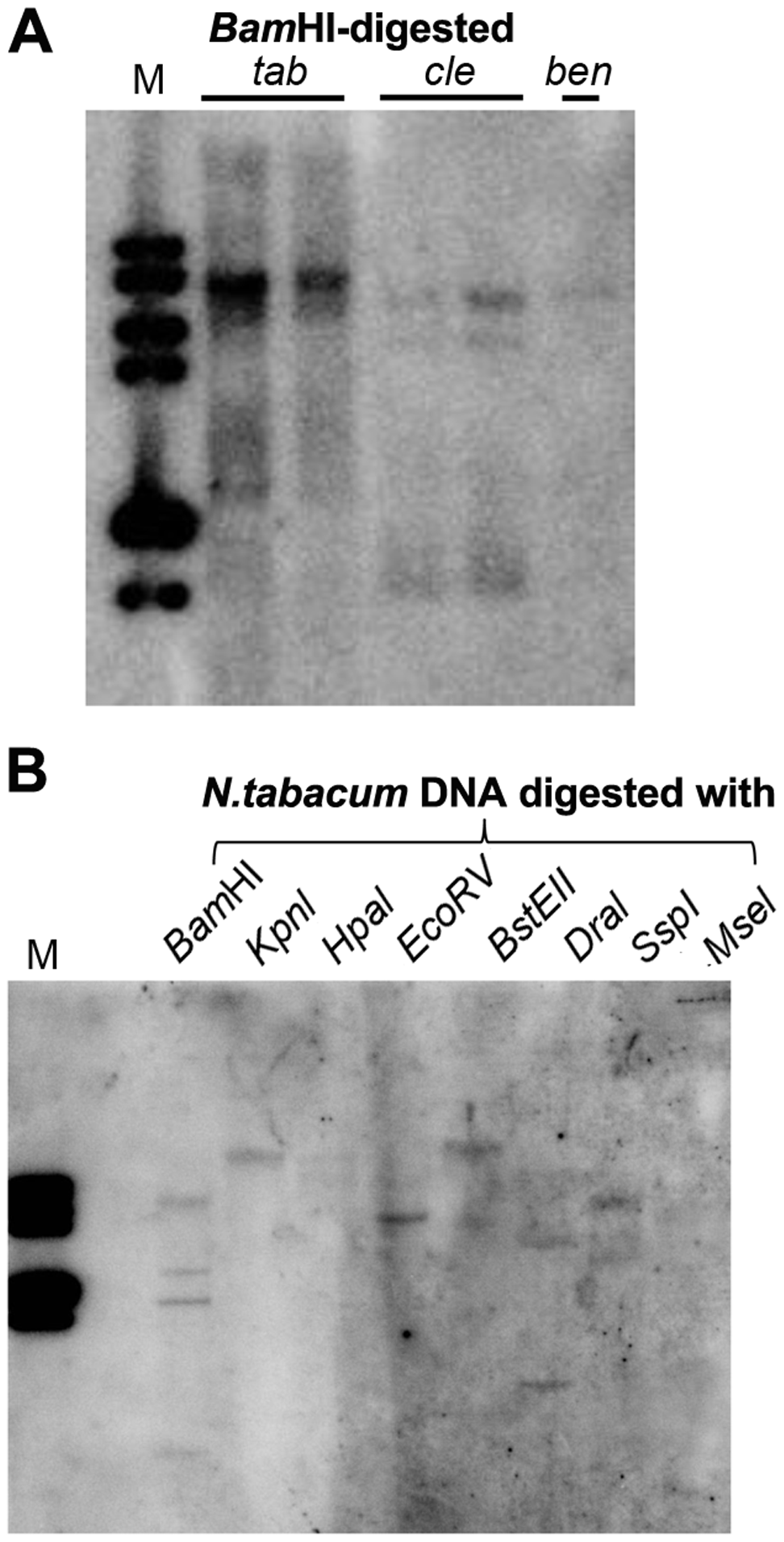 Multiple DNA bands are detectable in <i>Nicotiana</i> species that show homology to Y-Sat.