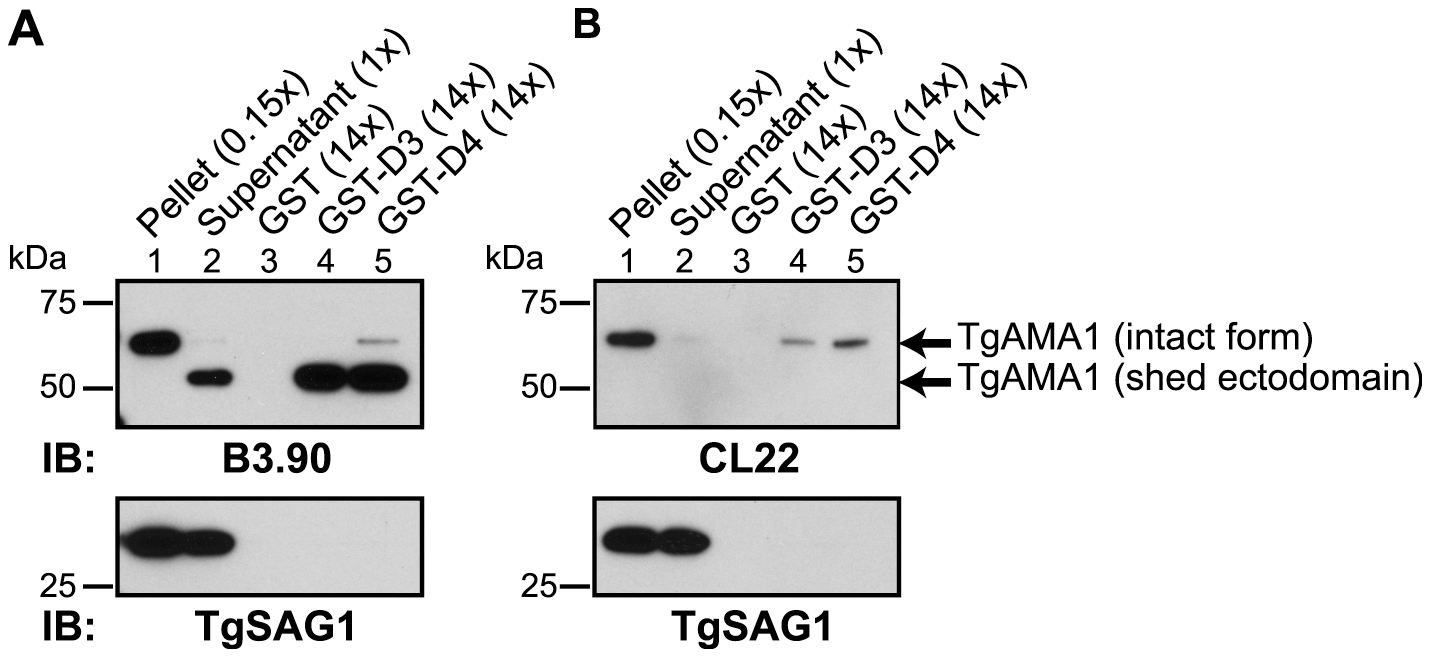 TgRON2 fusions GST-D3 and GST-D4 independently and specifically interact with the shed ectodomain of TgAMA1.