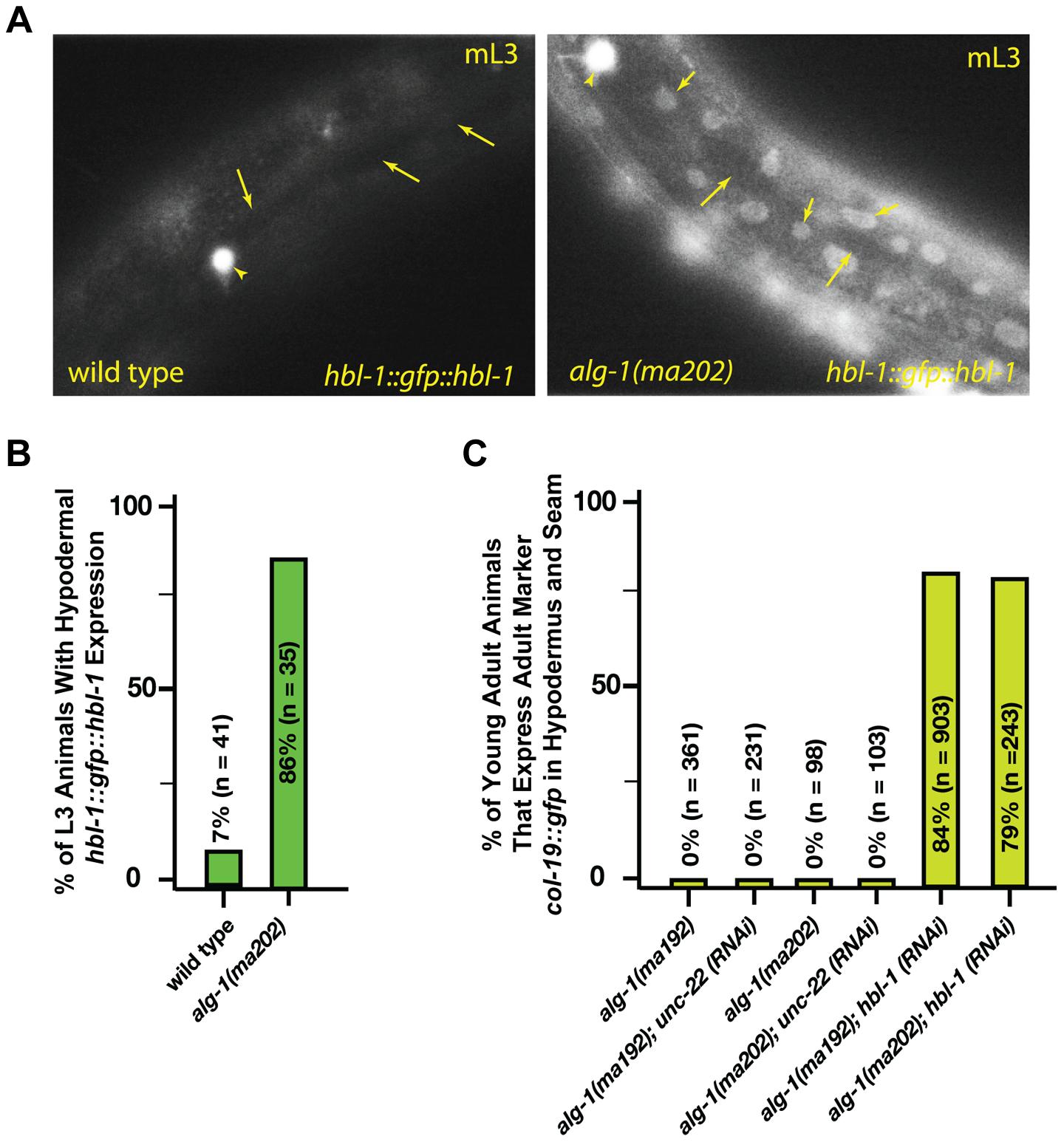 <i>alg-1(anti)</i> mutations affect <i>hbl-1</i> expression.