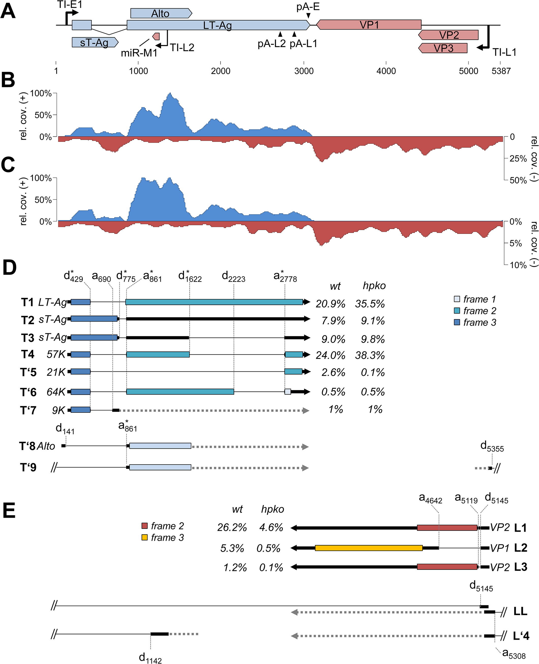 RNA-seq analysis of replicating MCPyV genomes.