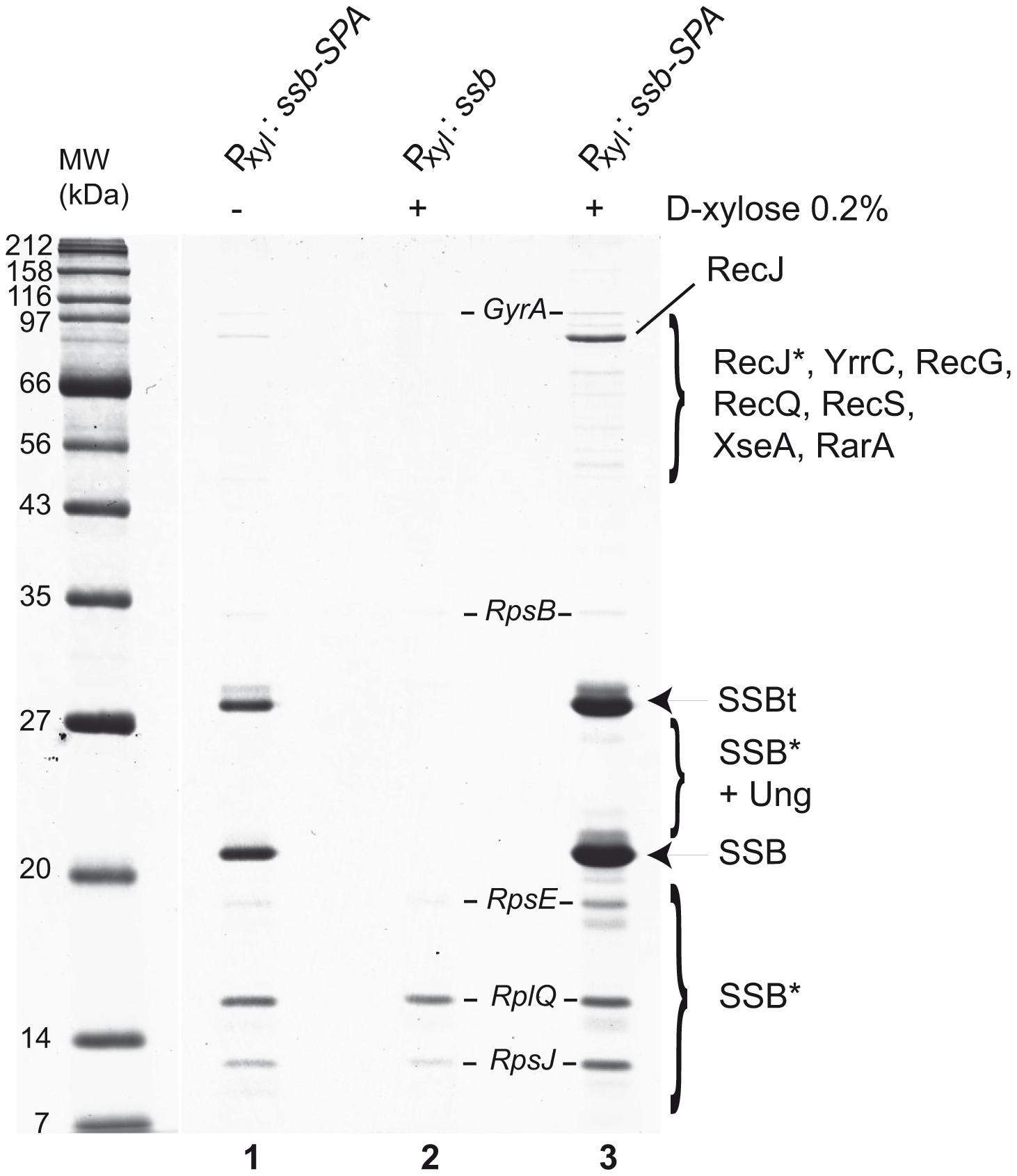Tap-tag of <i>B. subtilis</i> SSB.