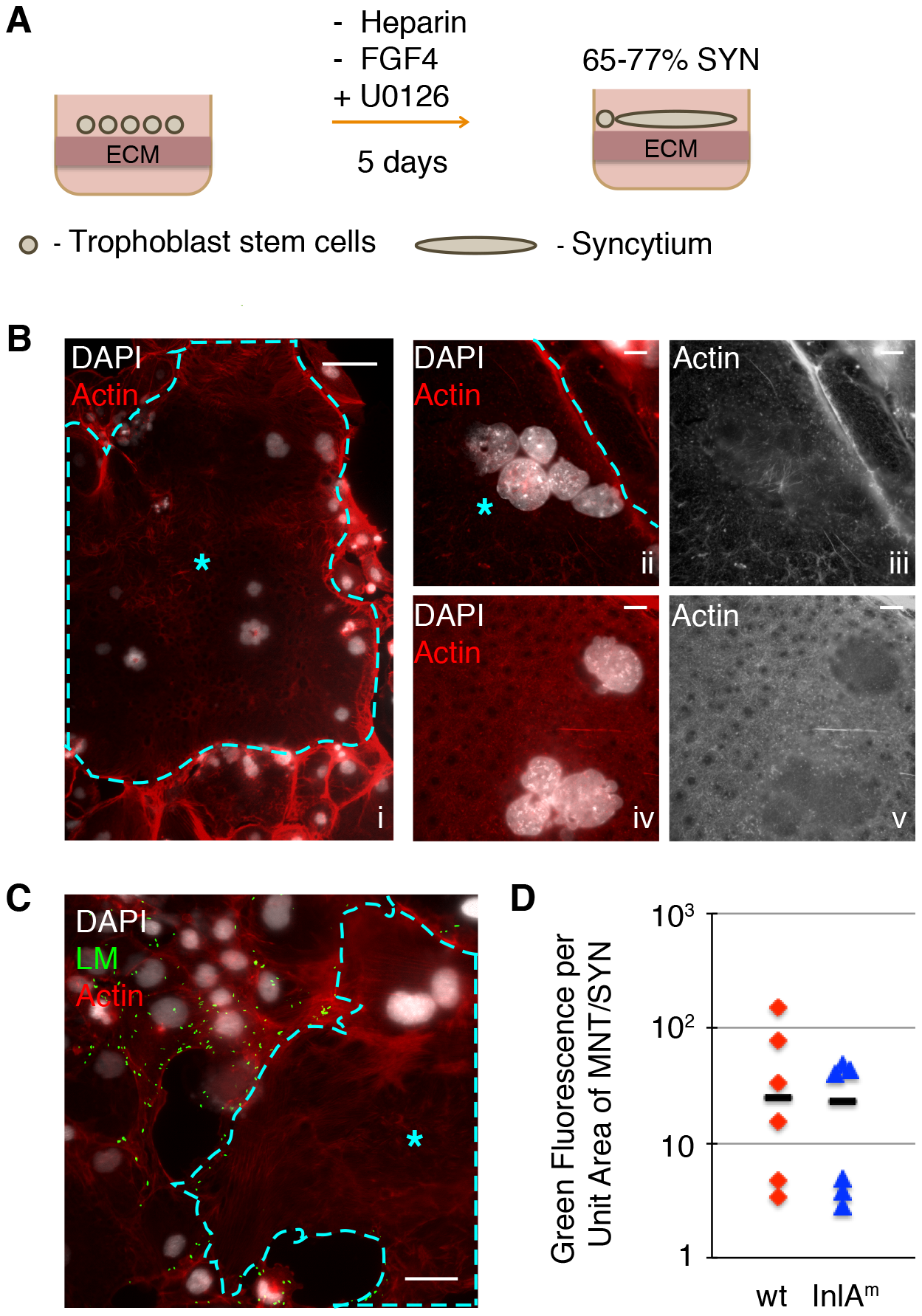 Syncytiotrophoblasts (SYN) derived from murine trophoblast stem cells (TSC) resist direct invasion by <i>L. monocytogenes</i> (LM).
