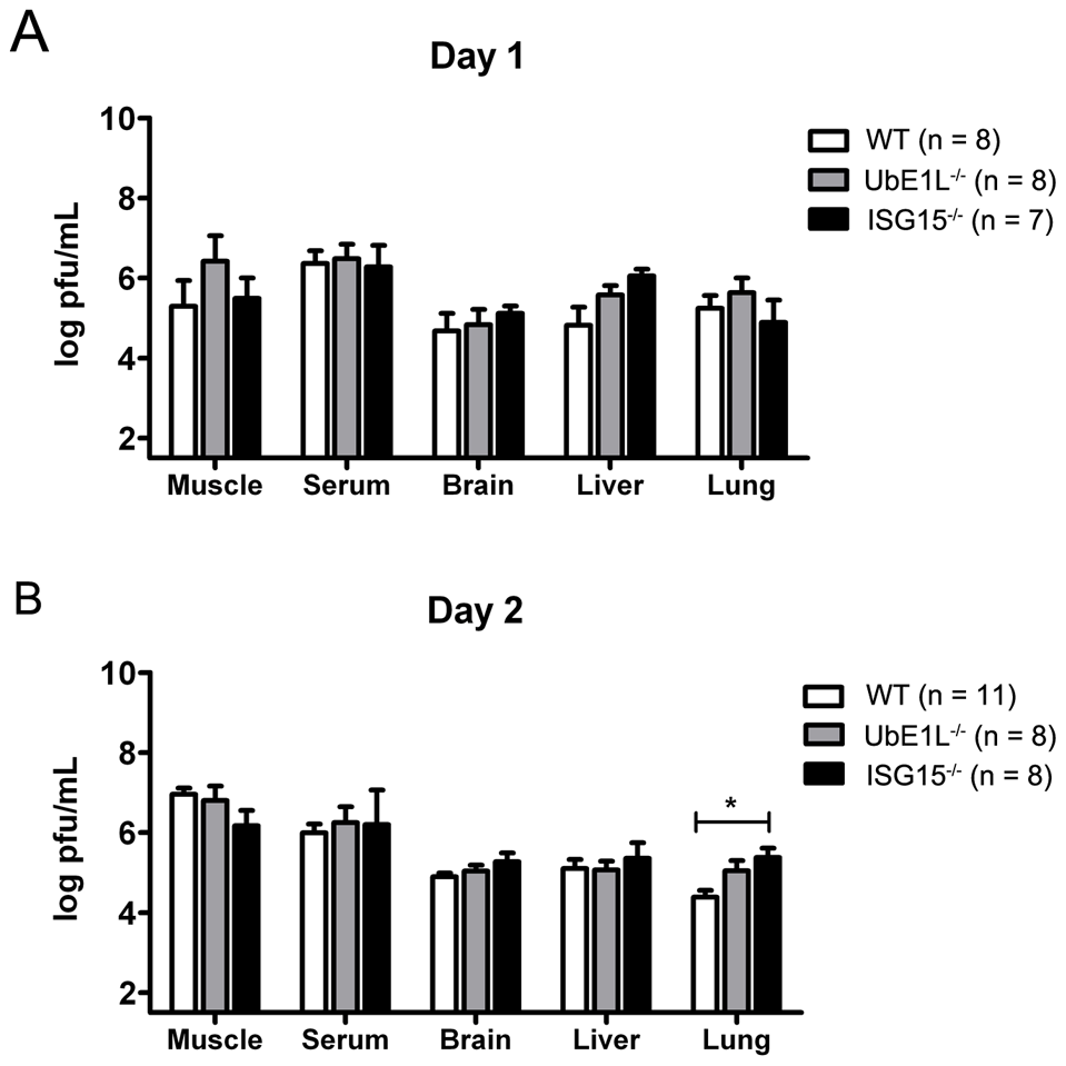ISG15<sup>−/−</sup> and UbE1L<sup>−/−</sup> mice display similar viral loads to WT mice.
