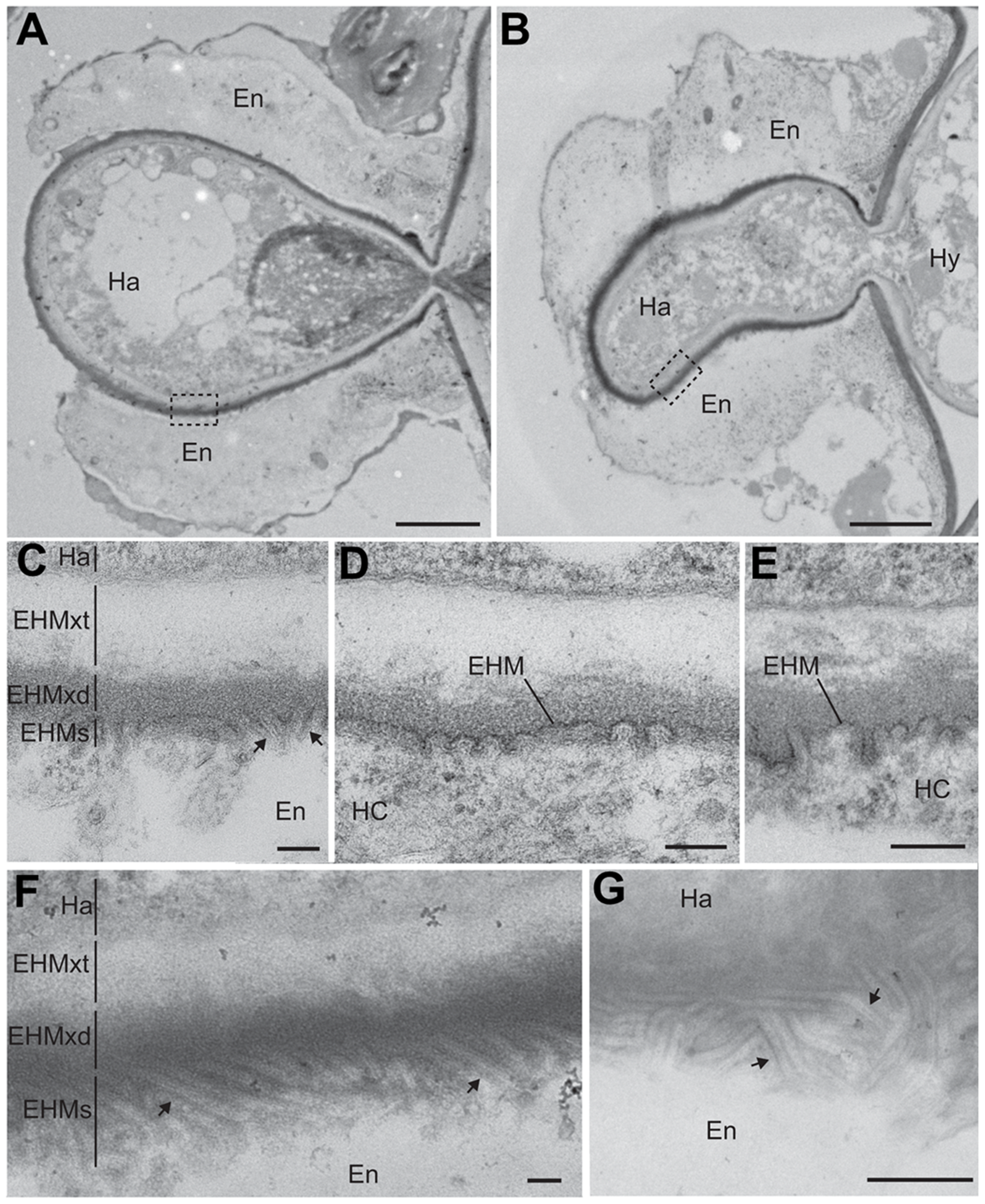 PDLP1 promotes membrane tubule formation at the extra-haustorial interface.