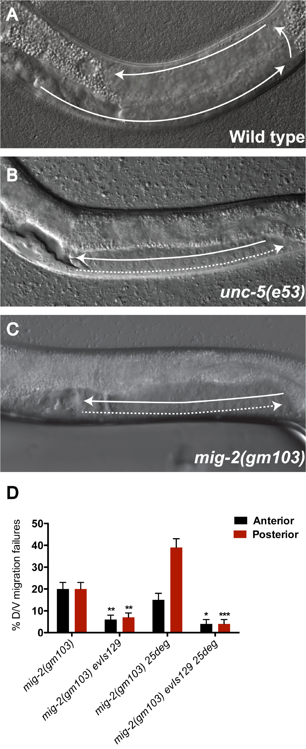 The constitutively active <i>mig-2(gm103)</i> gain-of-function allele displays <i>unc-5</i> mutant-like phase 2 D/V migration failures suppressed by over-expressing <i>unc-5(+)</i> in the DTCs.