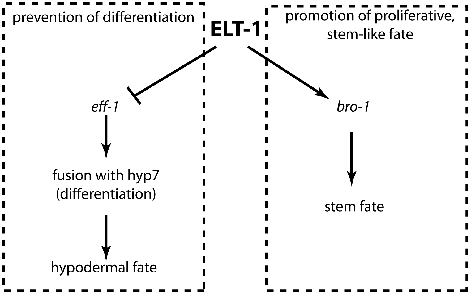 ELT-1 maintains the seam stem cell-like fate by promoting cell proliferation and preventing inappropriate differentiation.