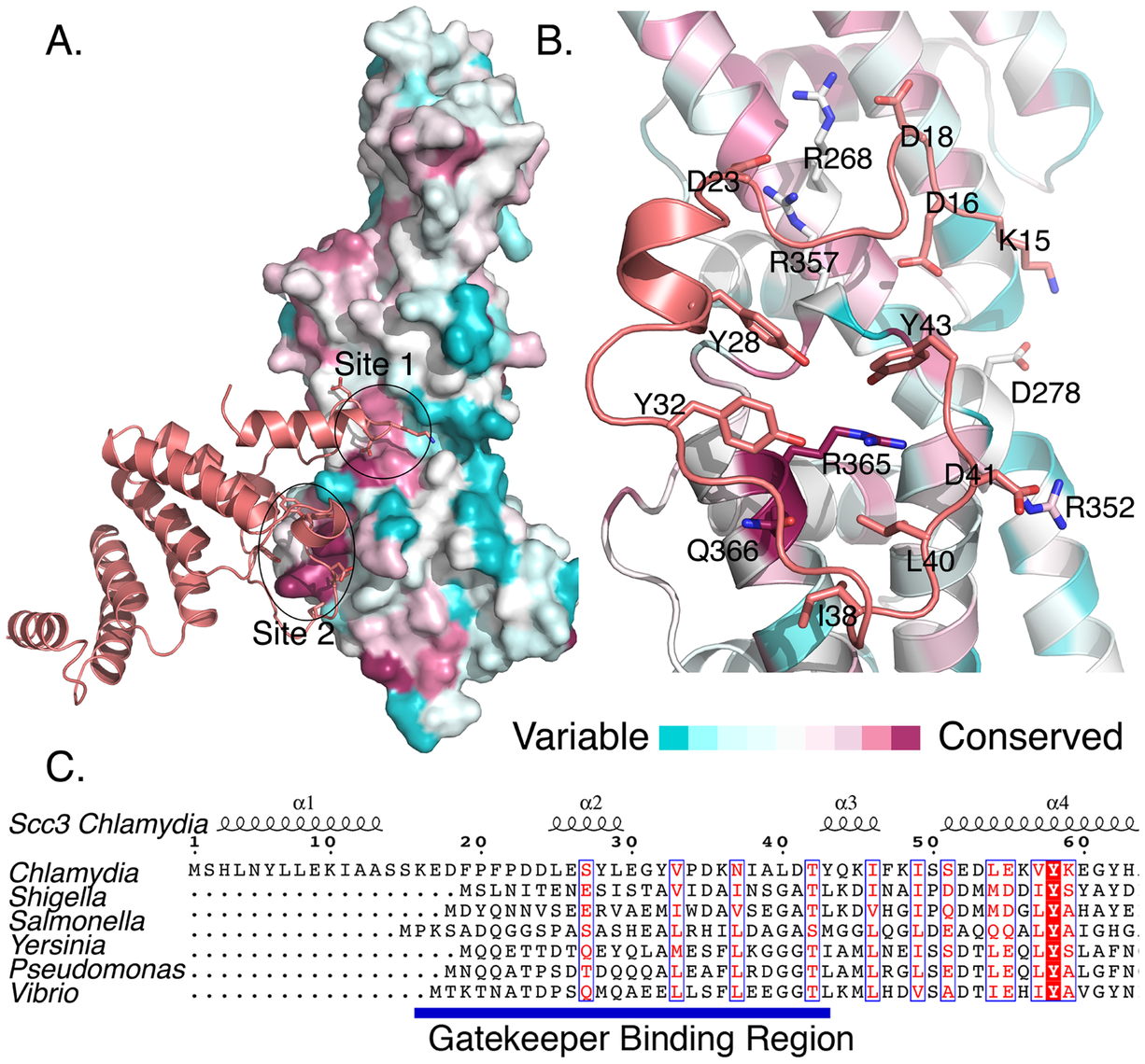 Sequence conservation in CopN and Scc3.
