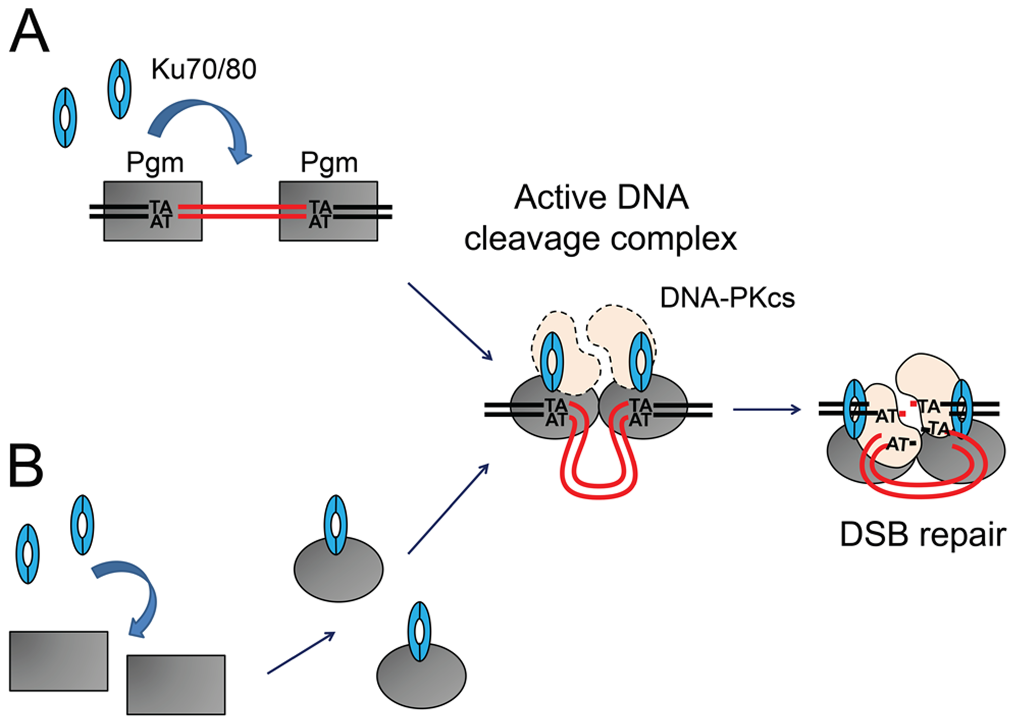 Models for the assembly of an active DNA cleavage complex.
