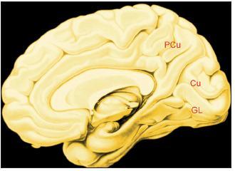 Obr. 4B. Vnitřní plocha pravé hemisféry Legenda: PCu – precuneus; Cu – cuneus; GL – gyrus lingualis.